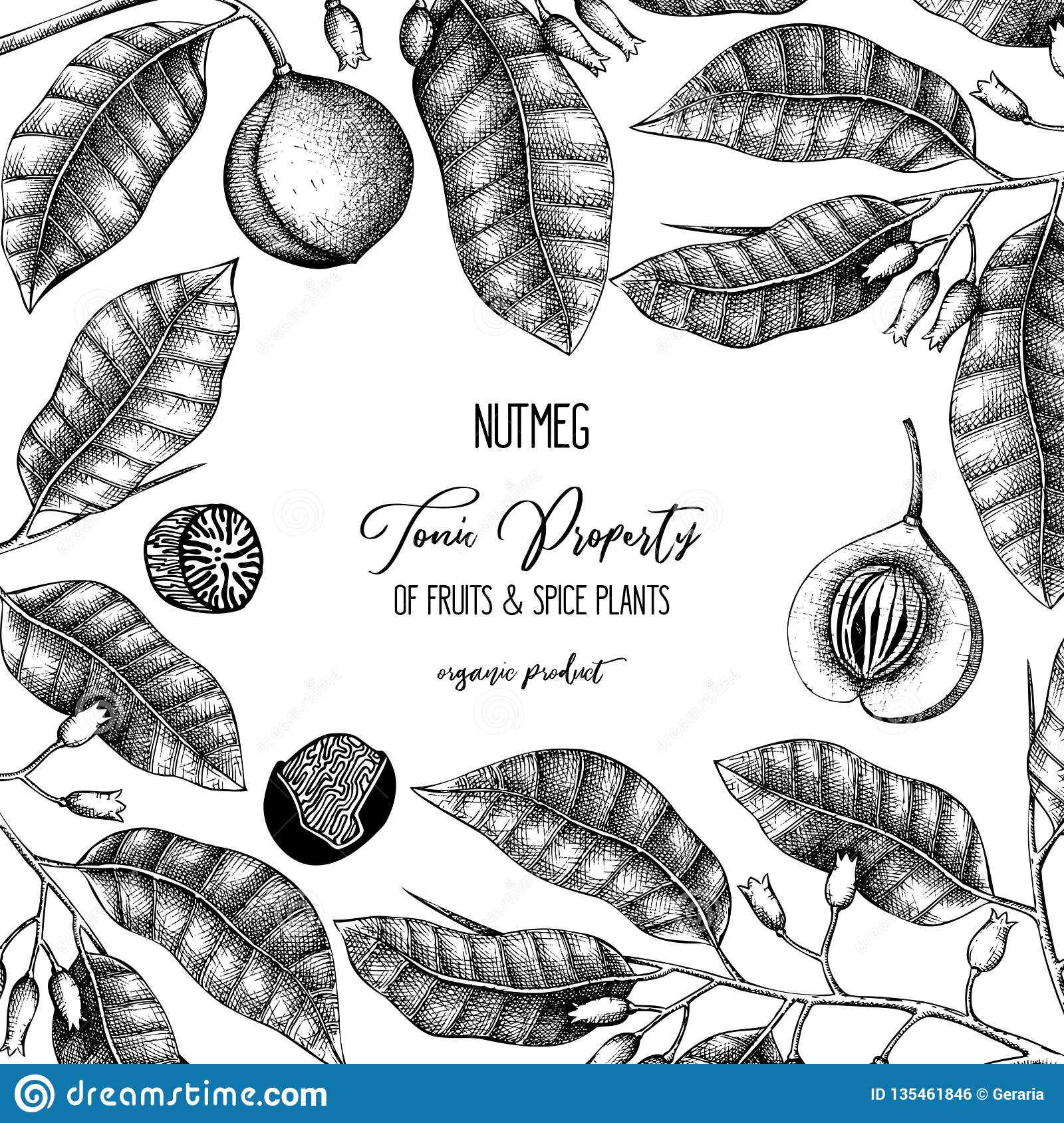 Vintage frame with hand drawn nutmeg tree illustration. Vector hand drawn spice plant design. Engraved style template with aromati