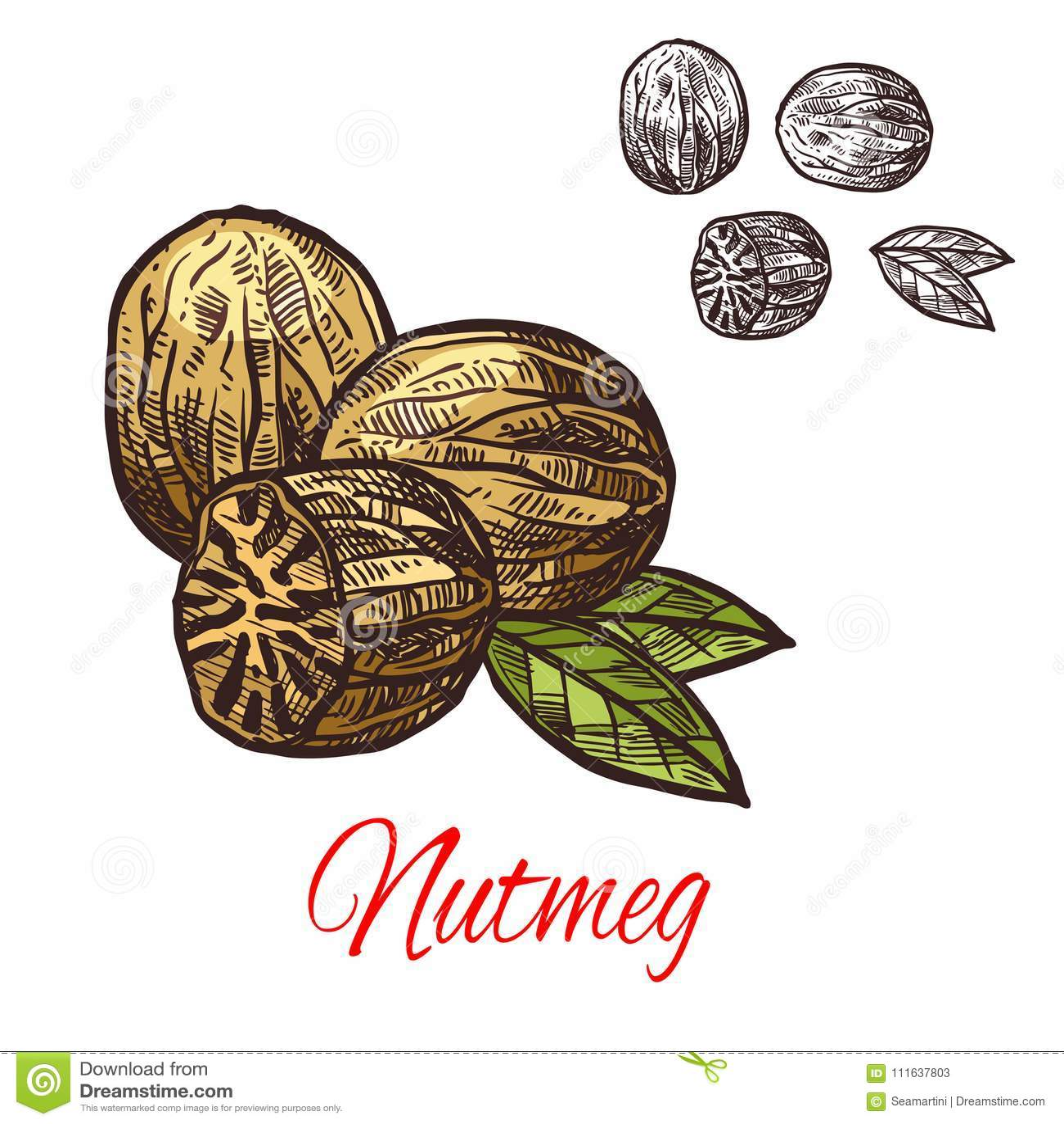 Nutmeg seasoning nut spice vector sketch icon