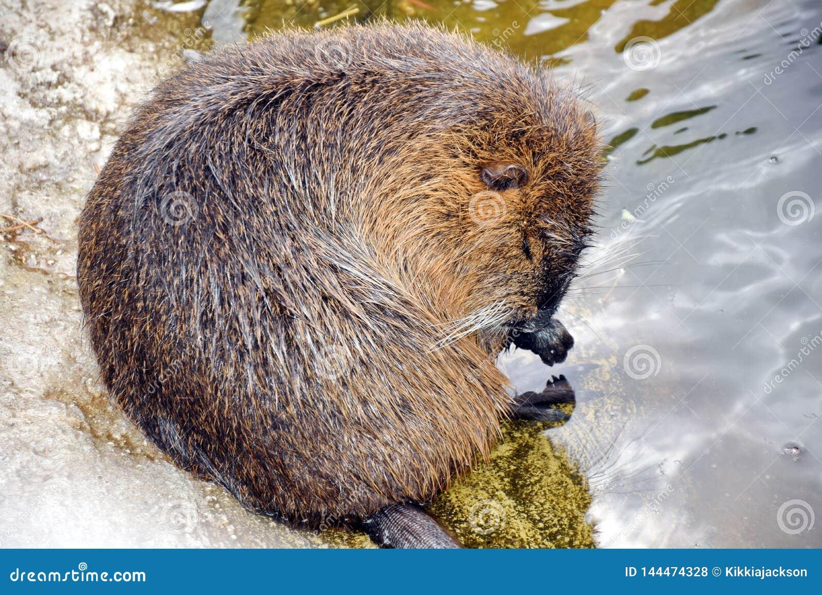 Nutria关心和洗澡的Myocastor巨水鼠