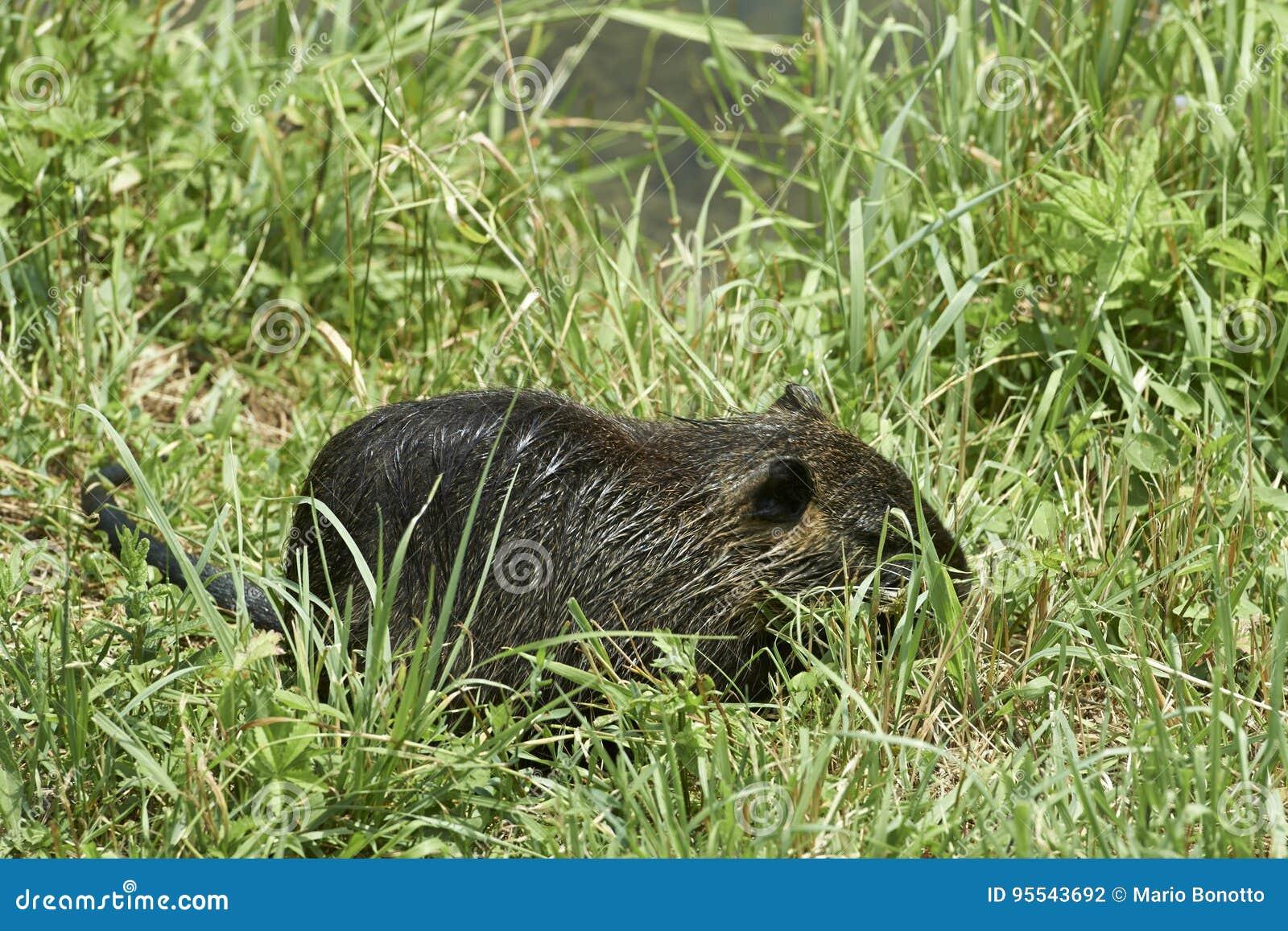 Nutria鼠