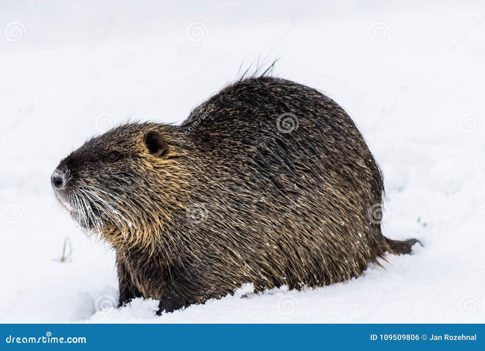 Nutria curioso grande do coypu na neve perto do rio