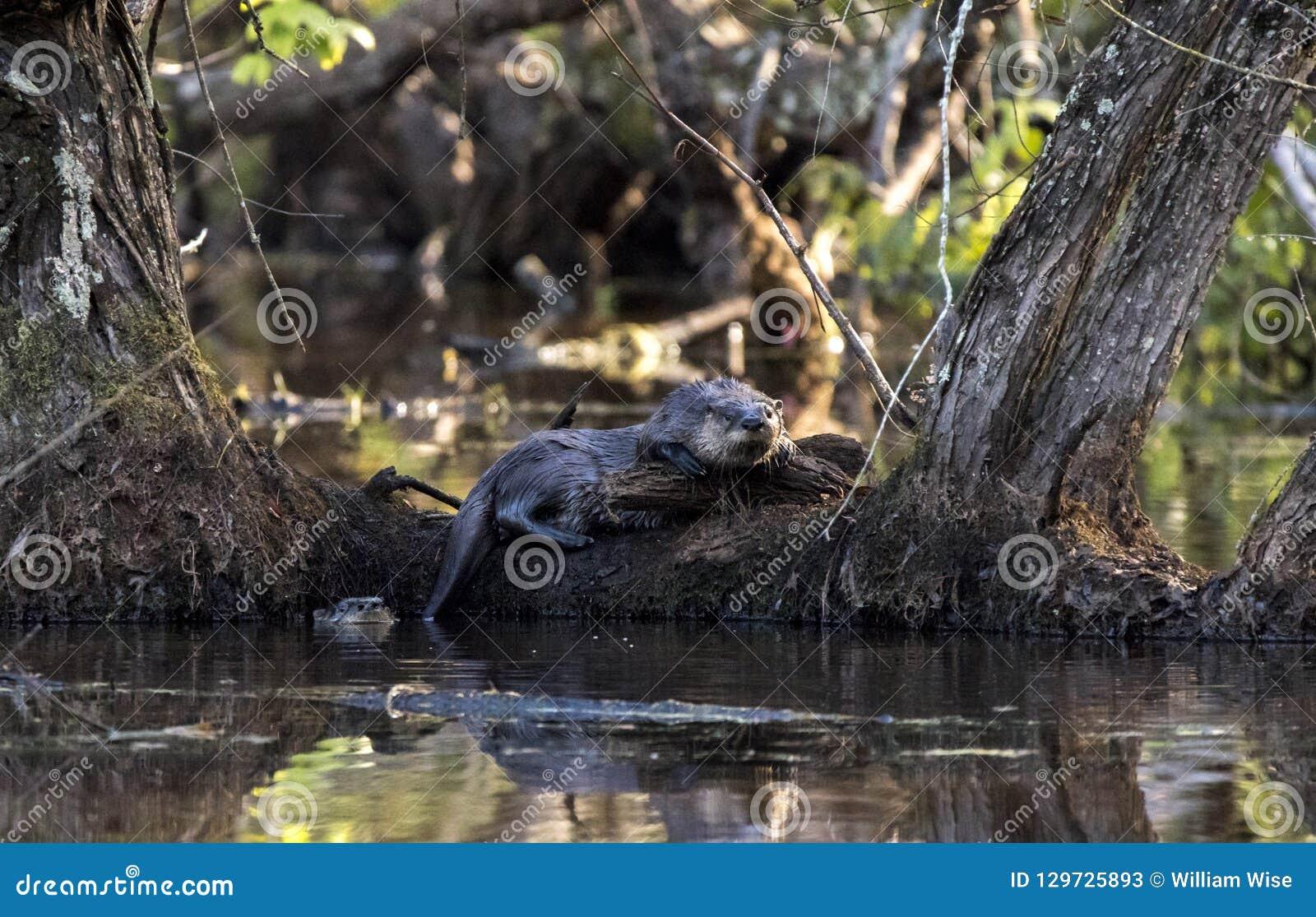 Nutria de río dos en el pantano del castor, Georgia los E.E.U.U.