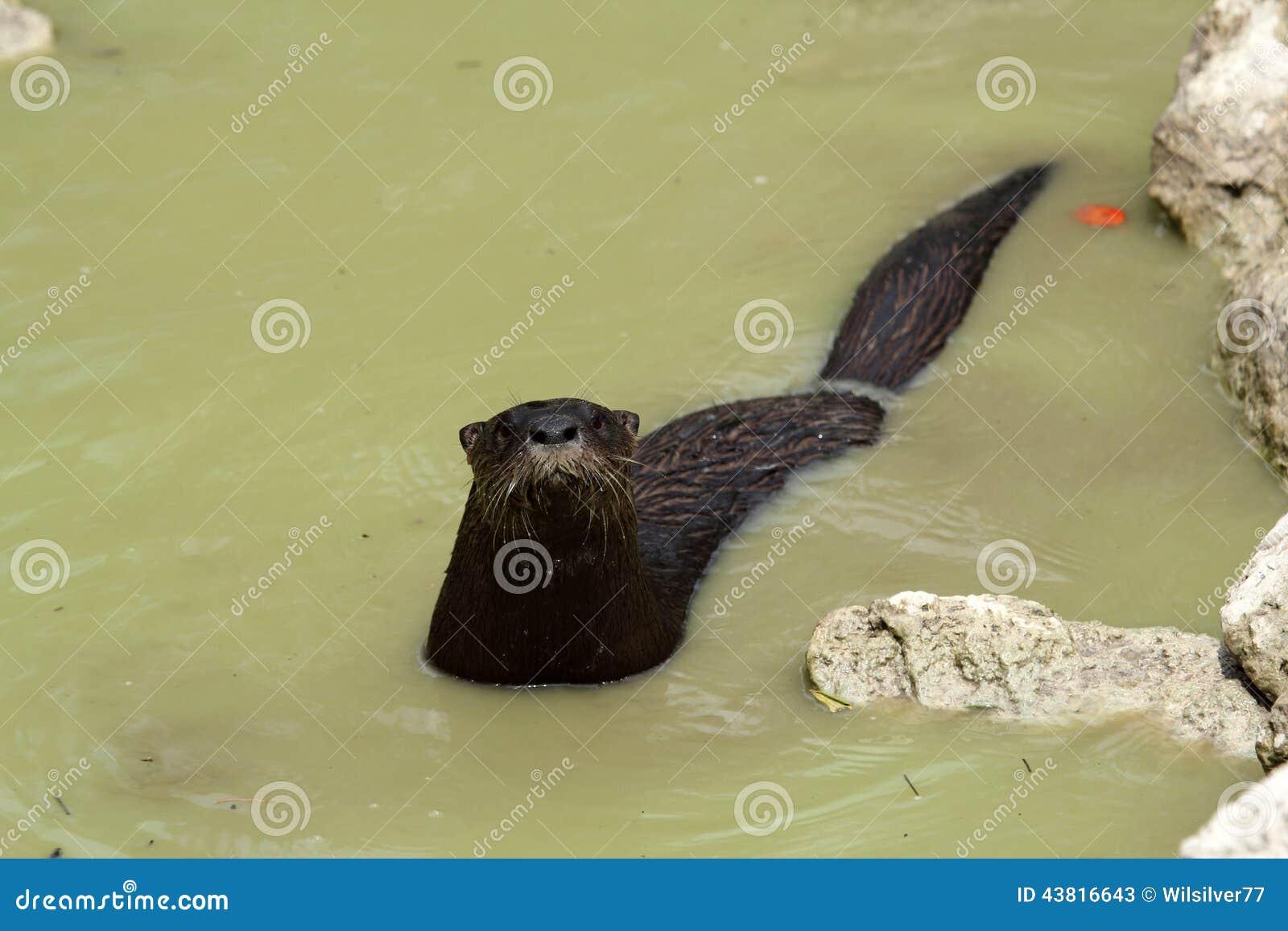 Nutria de río salvaje