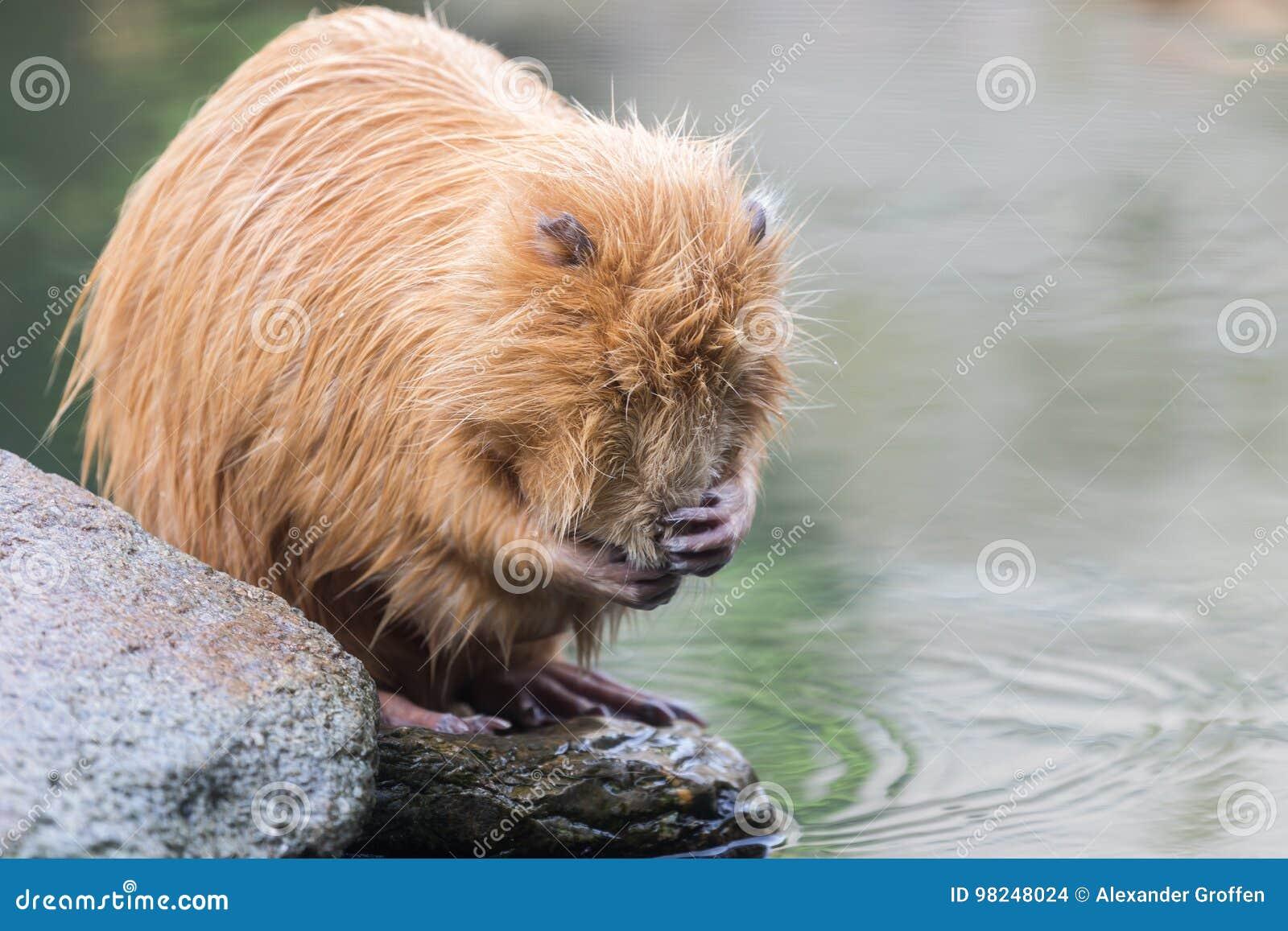 Nutria (Myocastor coypus or beaver rat) washing face