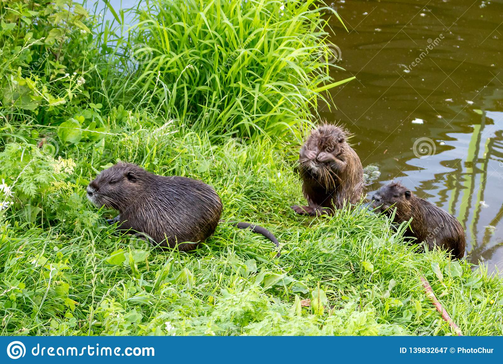 Nutria at the pond
