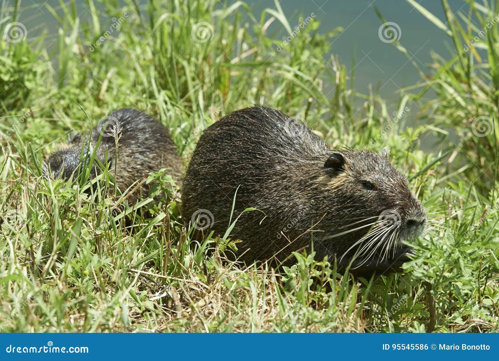 Nutria rats