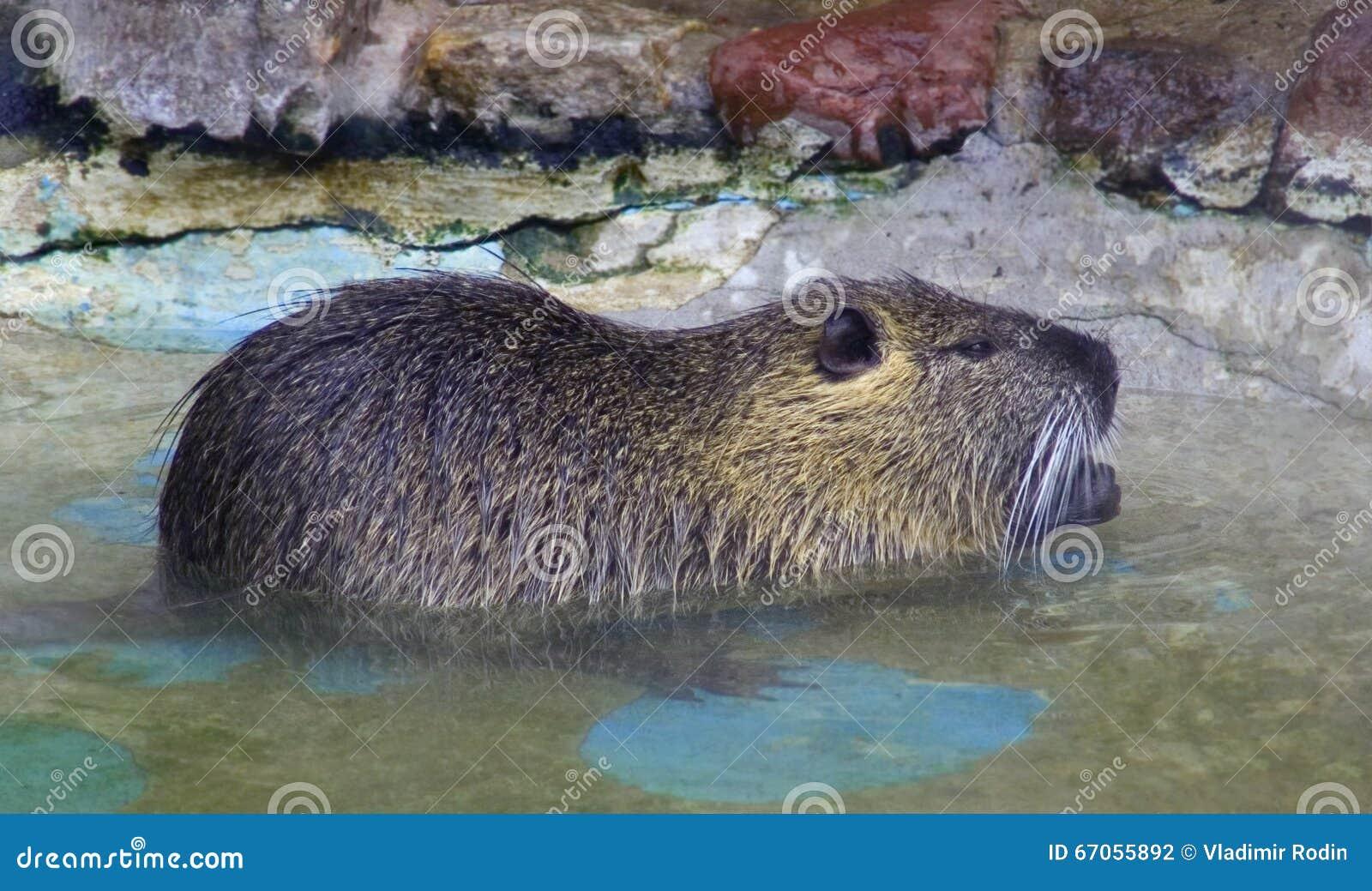 Nutria rodent mammal beaver rat
