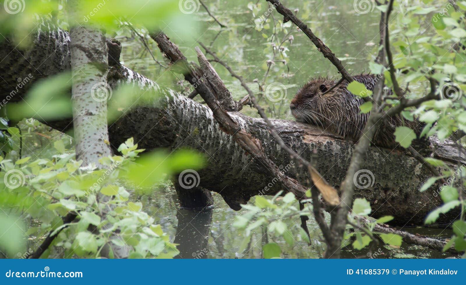 Nutria también conocido como coypu y rata del río