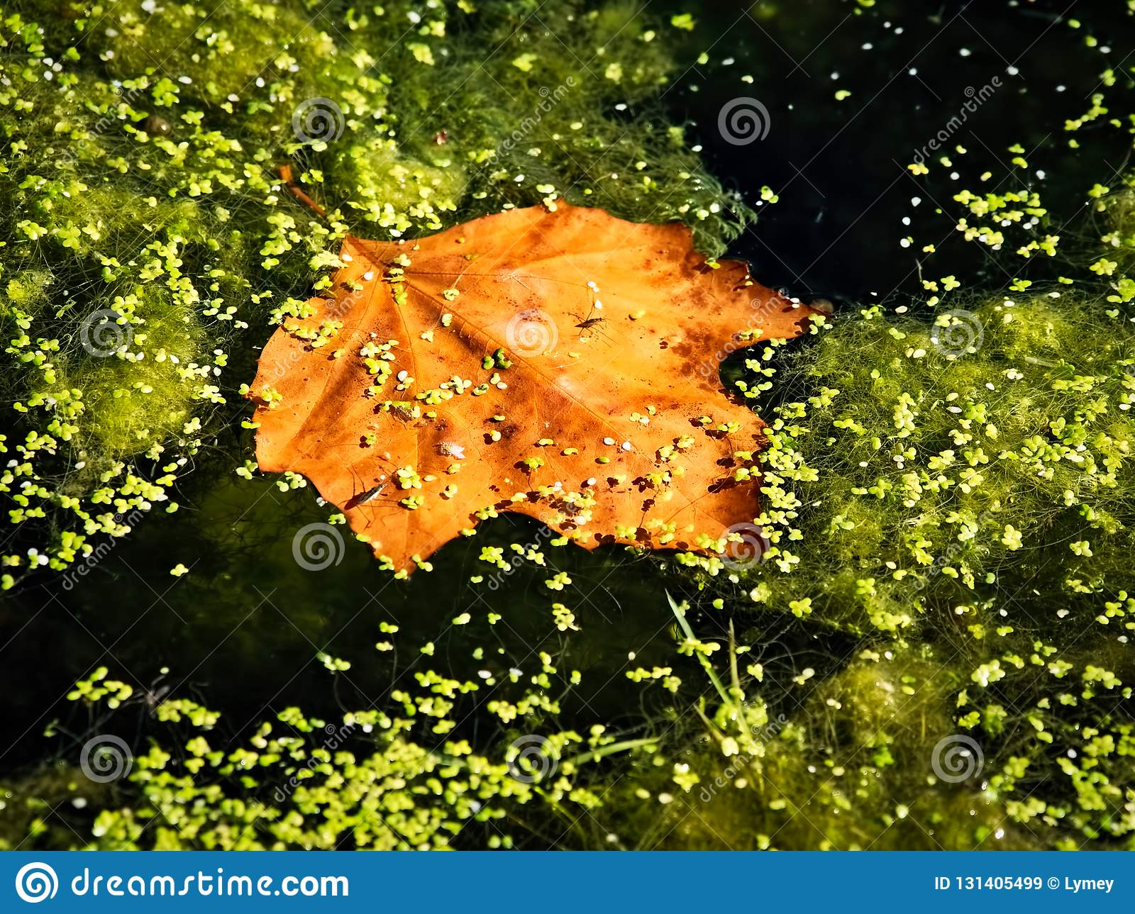 Nutty Golden Maple Leaf In A Pond