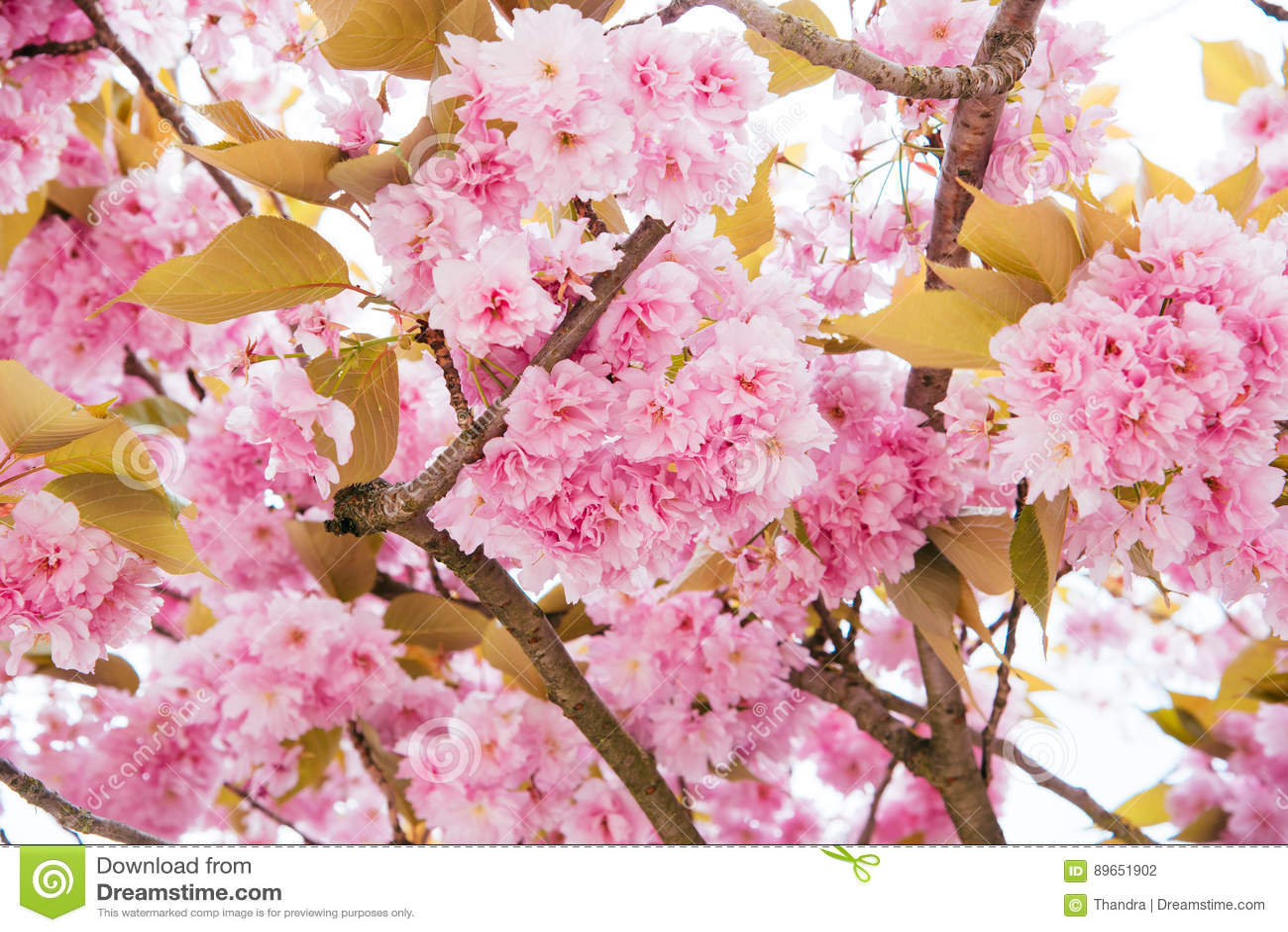 Nuvole Del Fiore E Del Cielo Del Fiore Di Ciliegia Per Sfondo