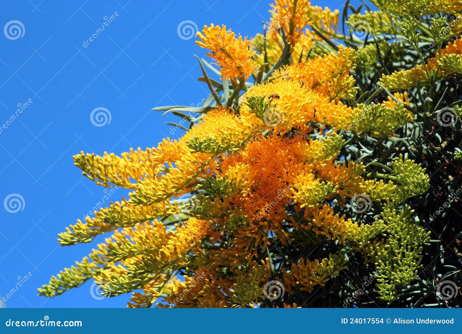 nuytsia floribunda australischer weihnachtsbaum