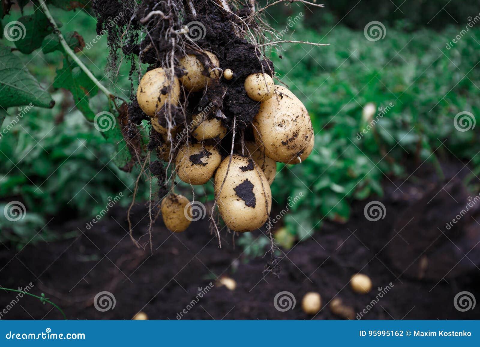 Ny åkerbruk mat för naturlig grönsak Rå grön potatis i jordningen
