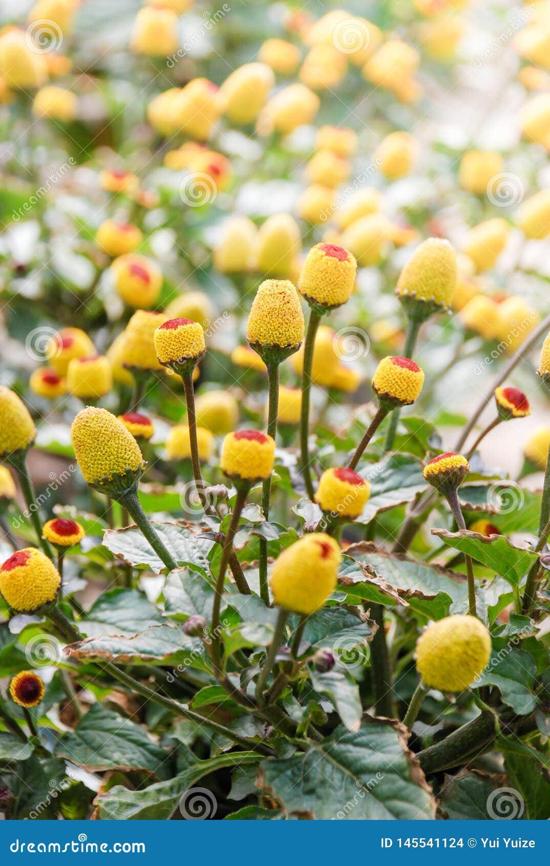 Ny blomma para kryddkrassev