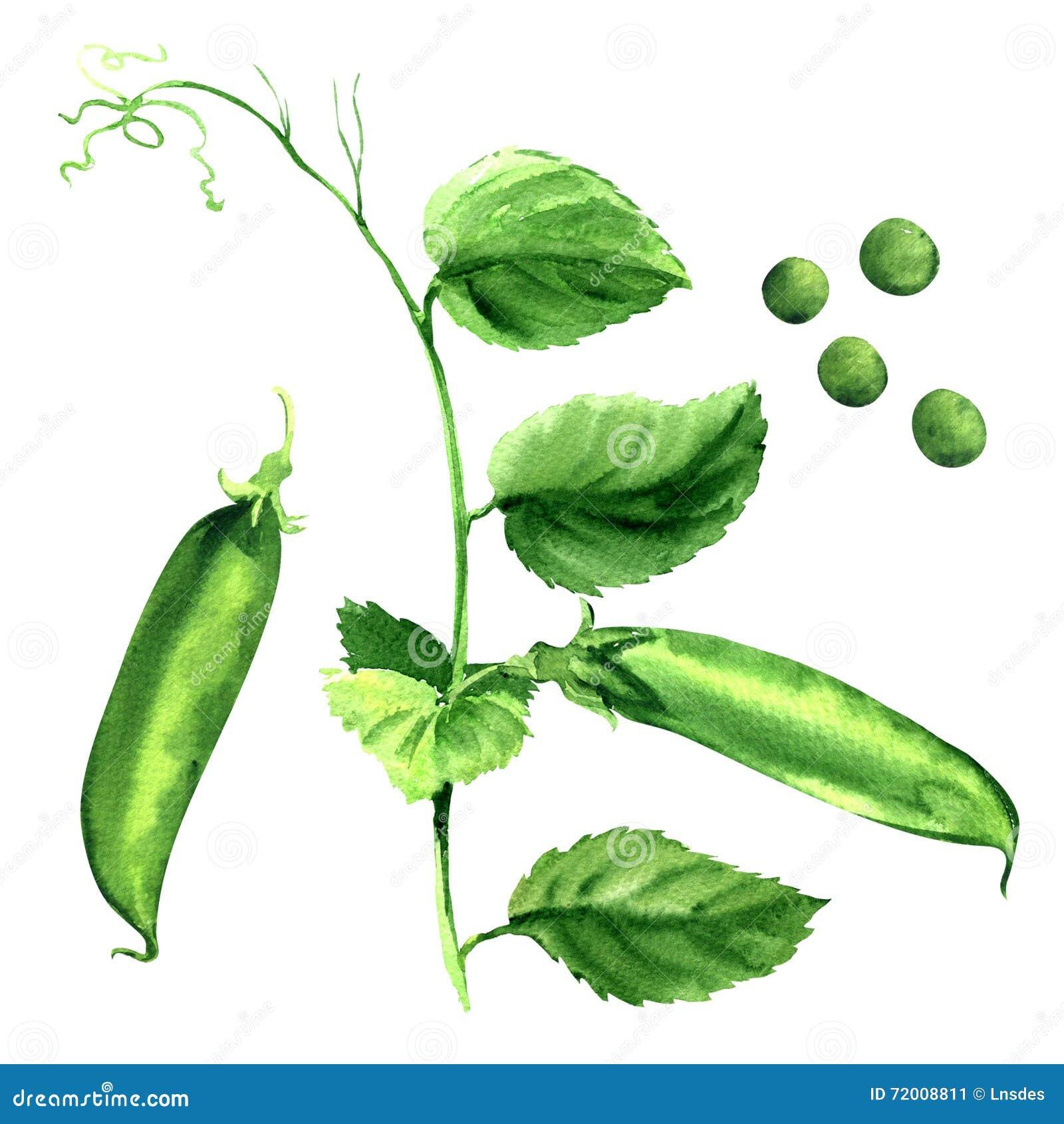 Ny fröskida för grön ärta, ärtaväxt som isoleras, vattenfärgillustration