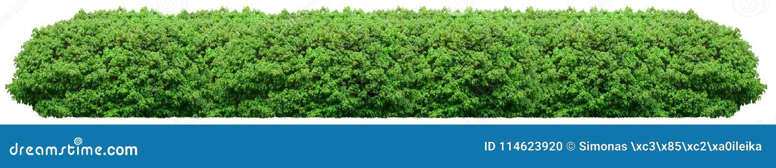 Ny grön buske som isoleras på vit bakgrund