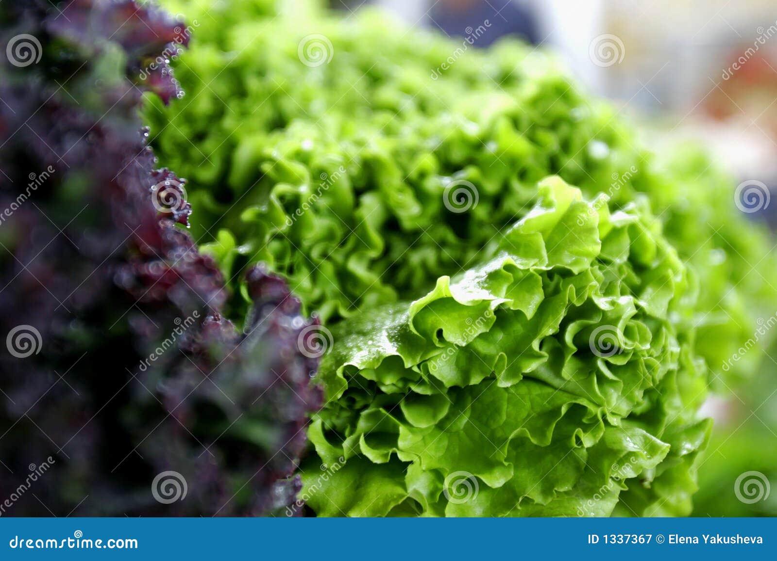 Ny grön grönsallatred