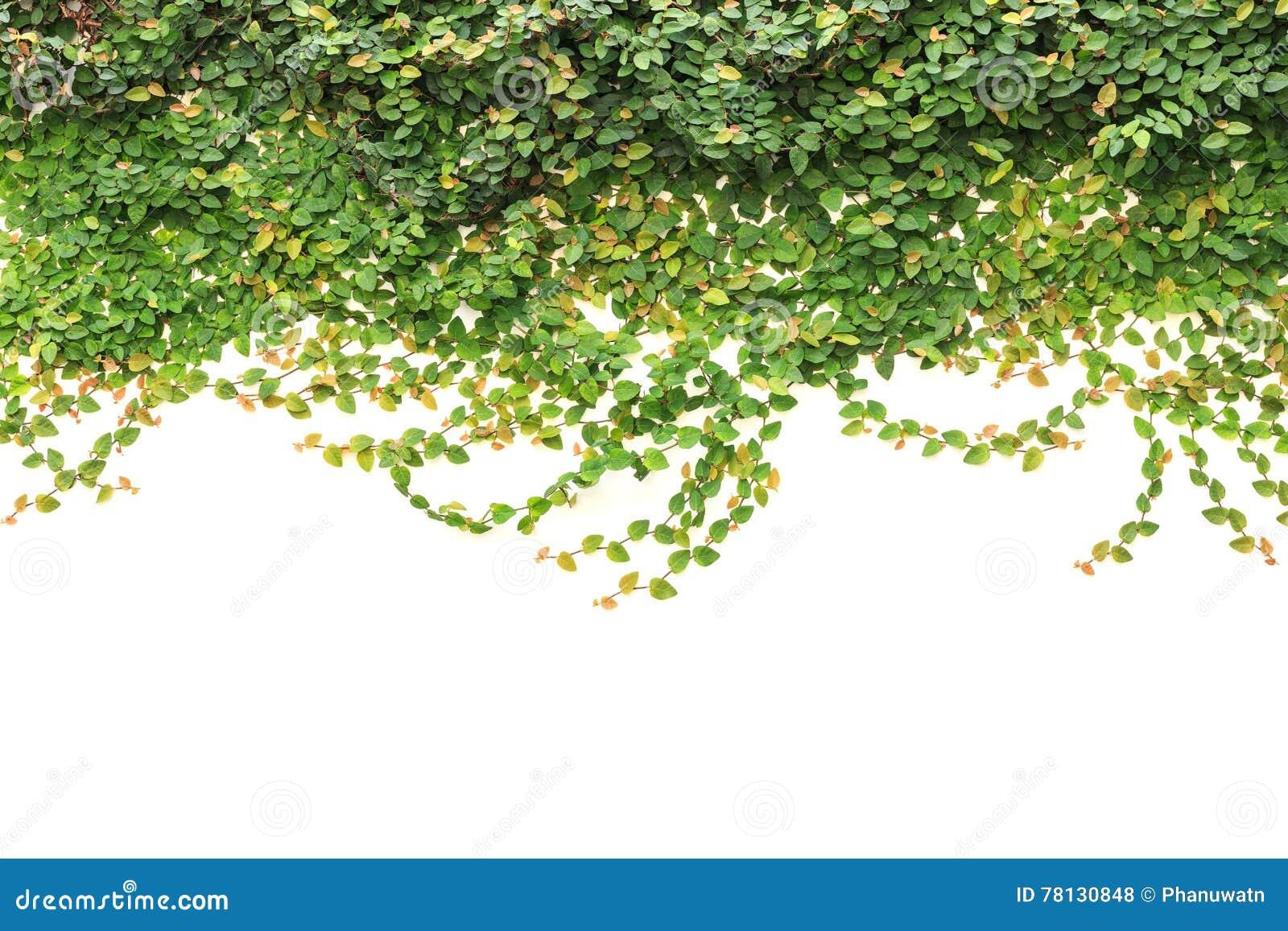 Ny grön murgröna som isoleras på vit bakgrund Trädgårds- garnering