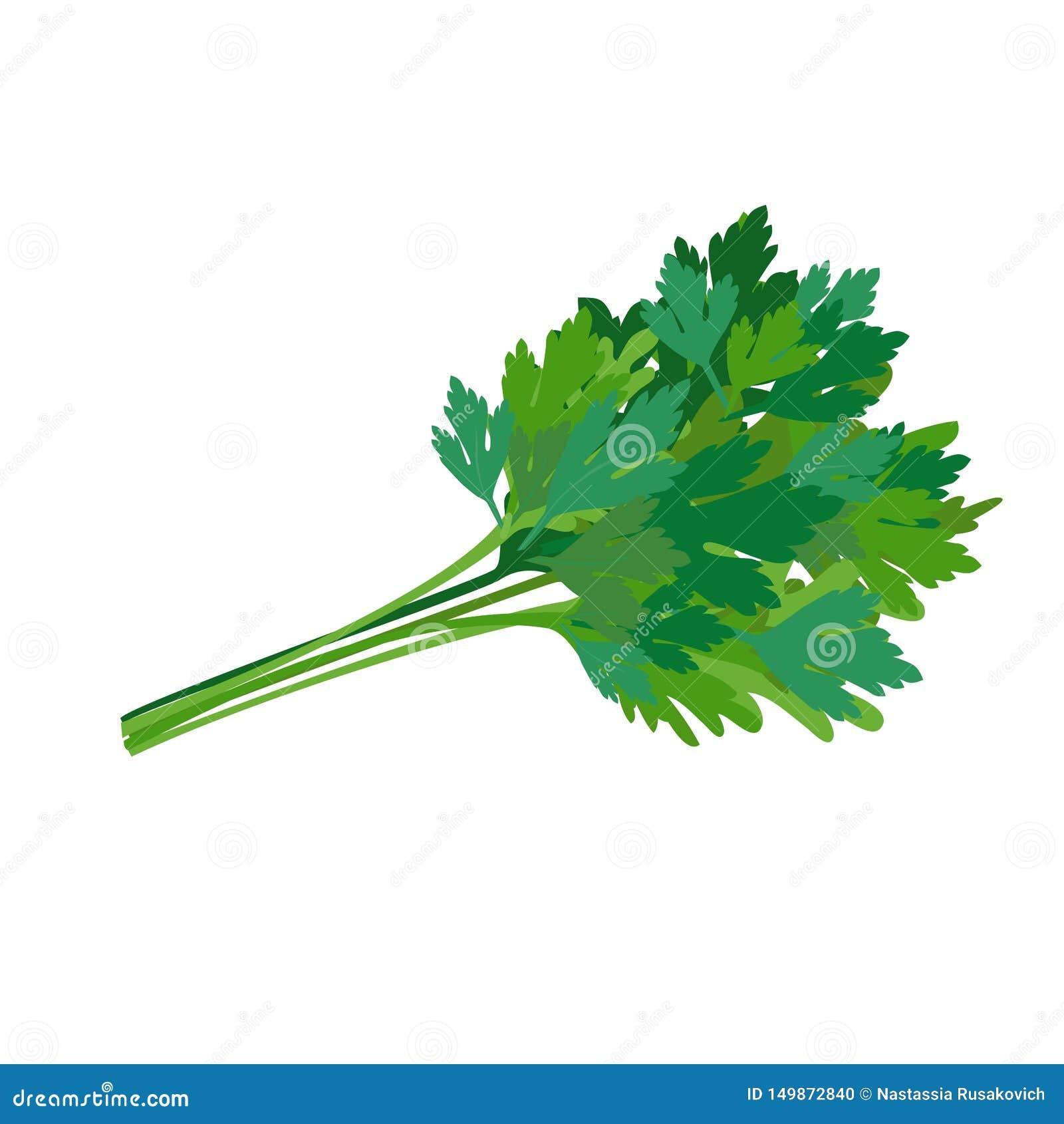 Ny gr?n parsley krydda som ?r kryddigt ocks? vektor f?r coreldrawillustration
