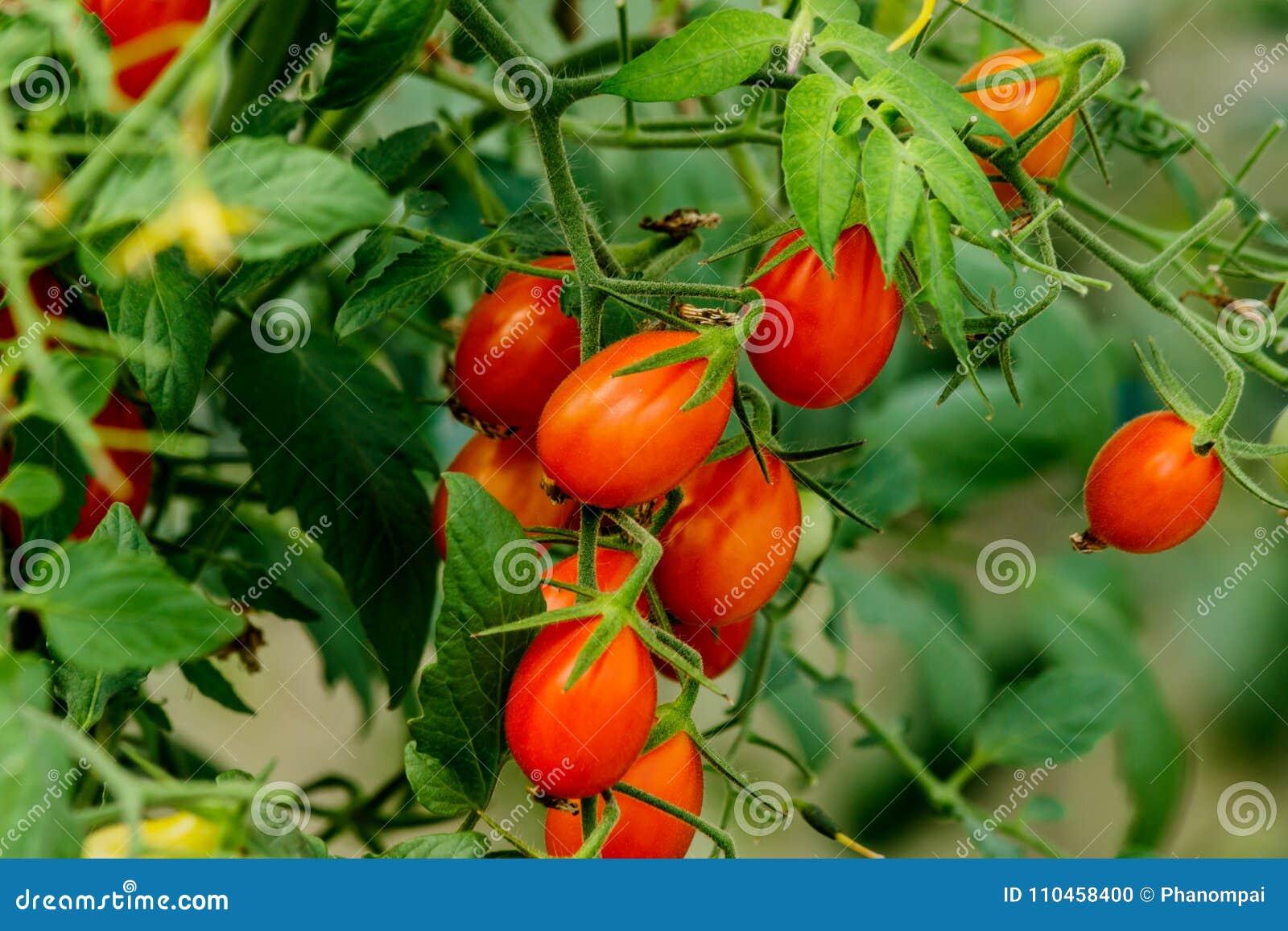 Ny körsbärsröd tomat på en filial i trädgården