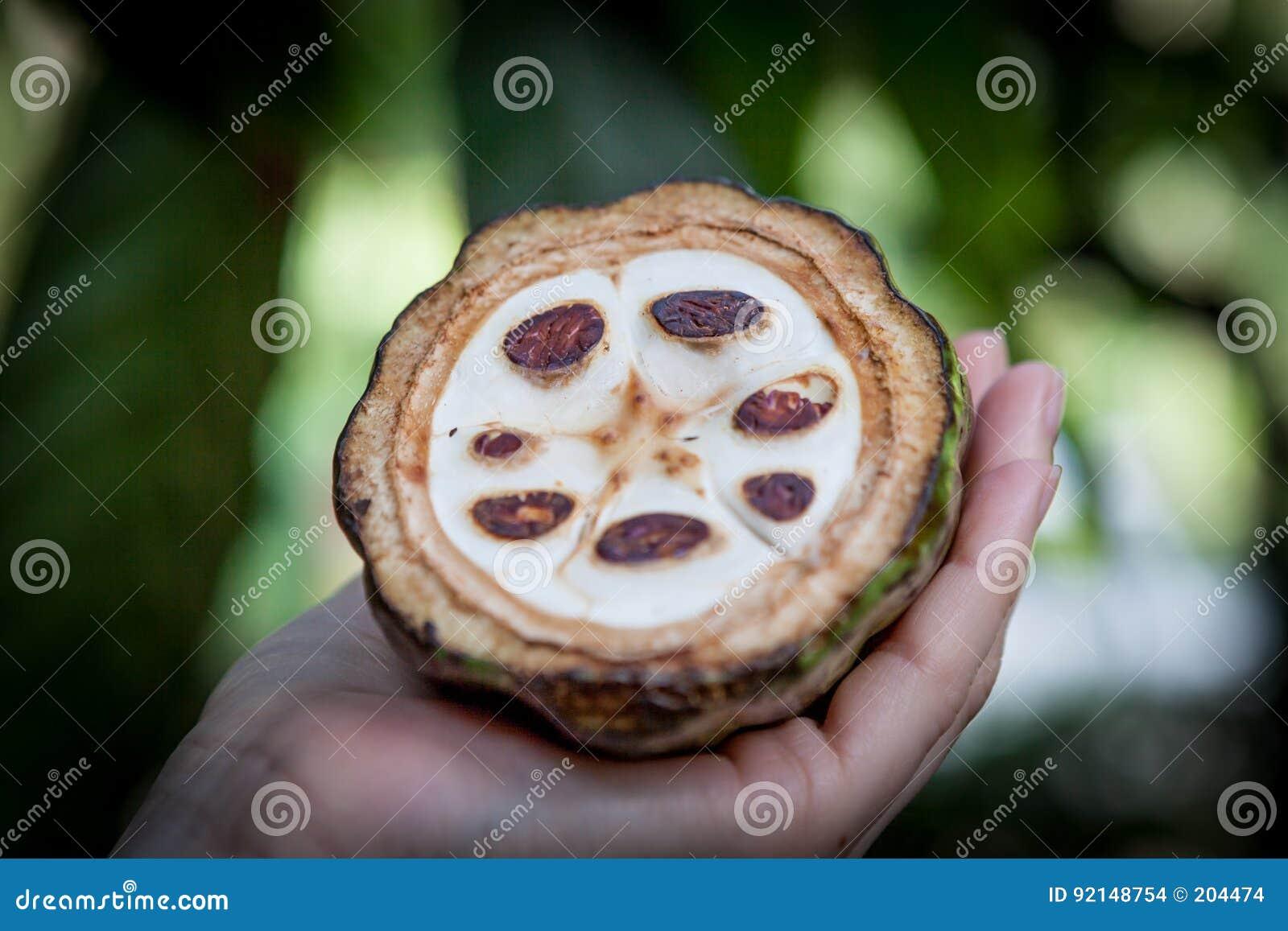 Ny kakaofrukt i en hand close upp Snitt av rå kakao i den Sri Lanka kolonin