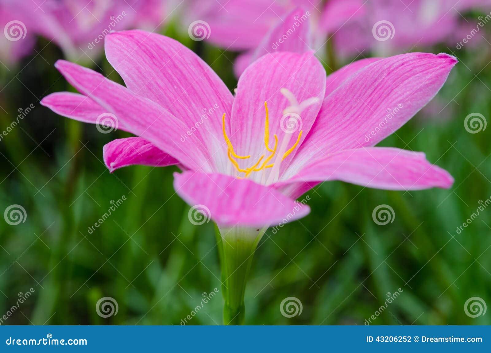 Download Ny lilja arkivfoto. Bild av floror, bostonian, huvud - 43206252