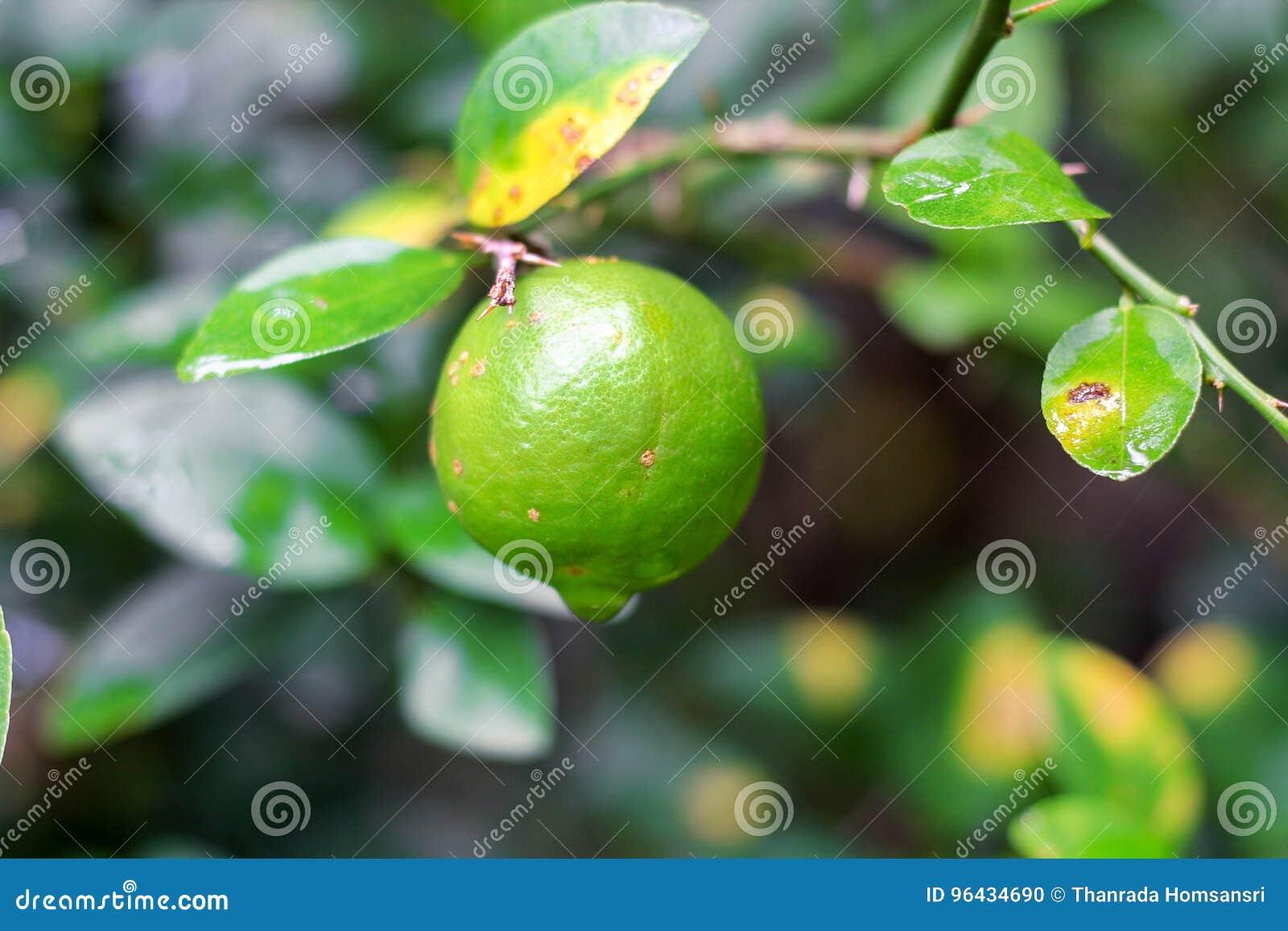 Ny limefrukt med leafen