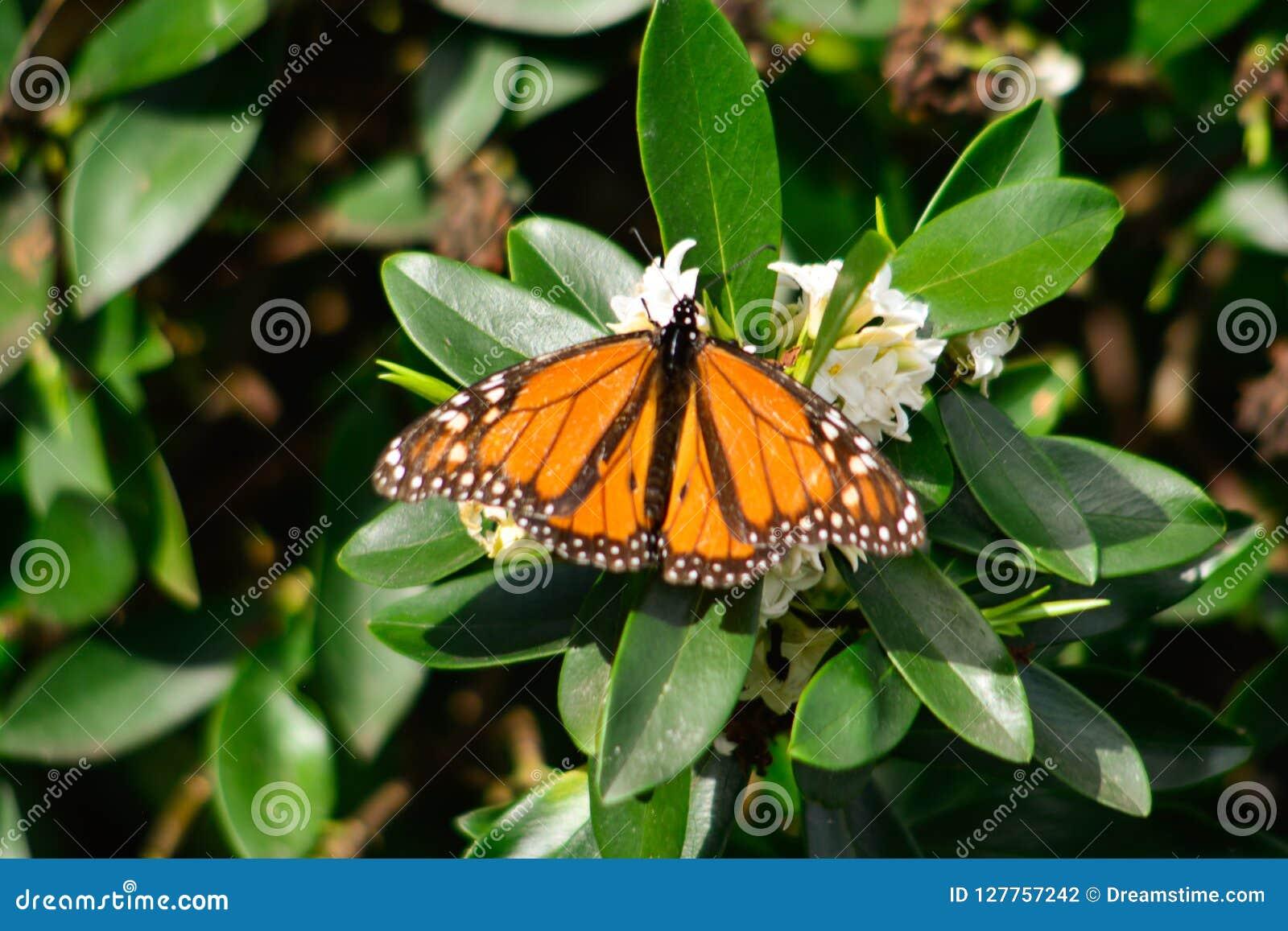 Ny monark för säsongfjärils` som s låter mig ta bilder