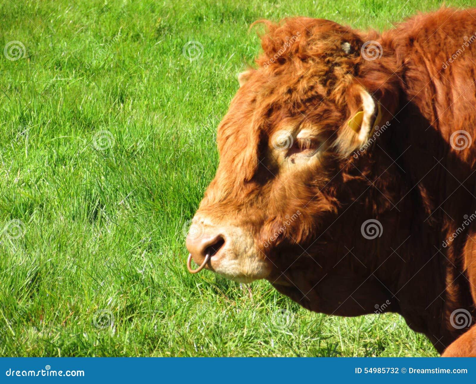 Ny tjur på lantgården
