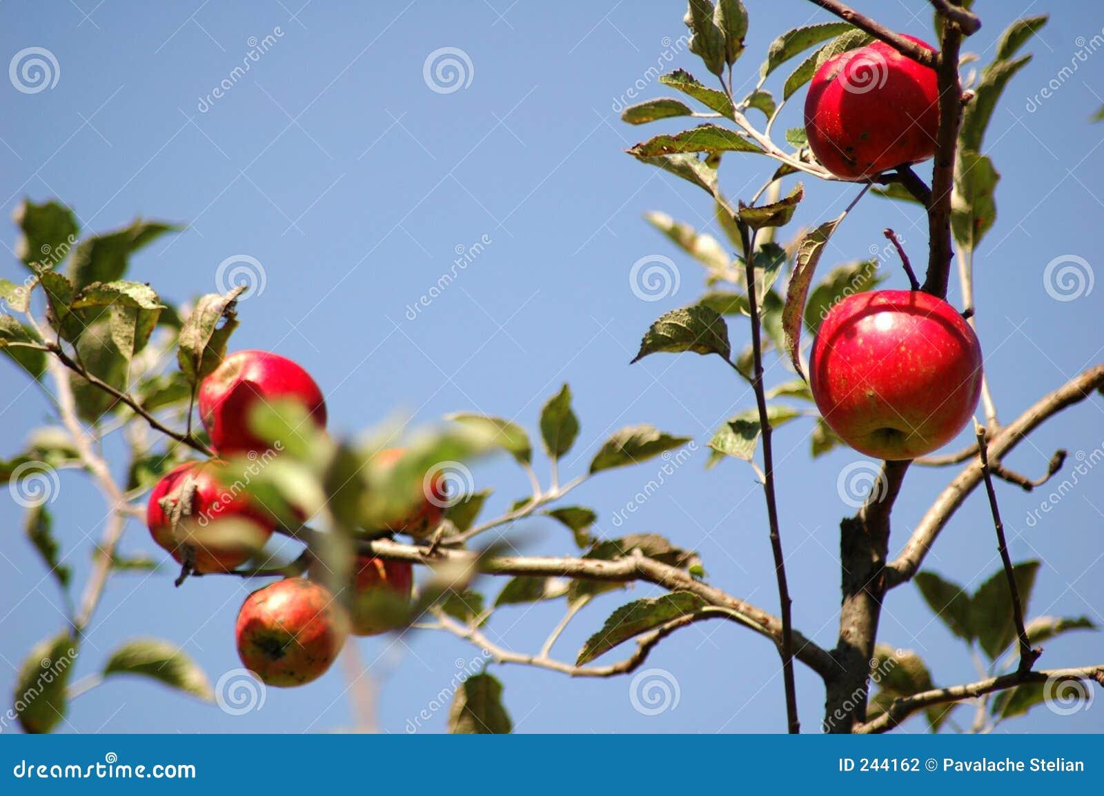Nya äpplen