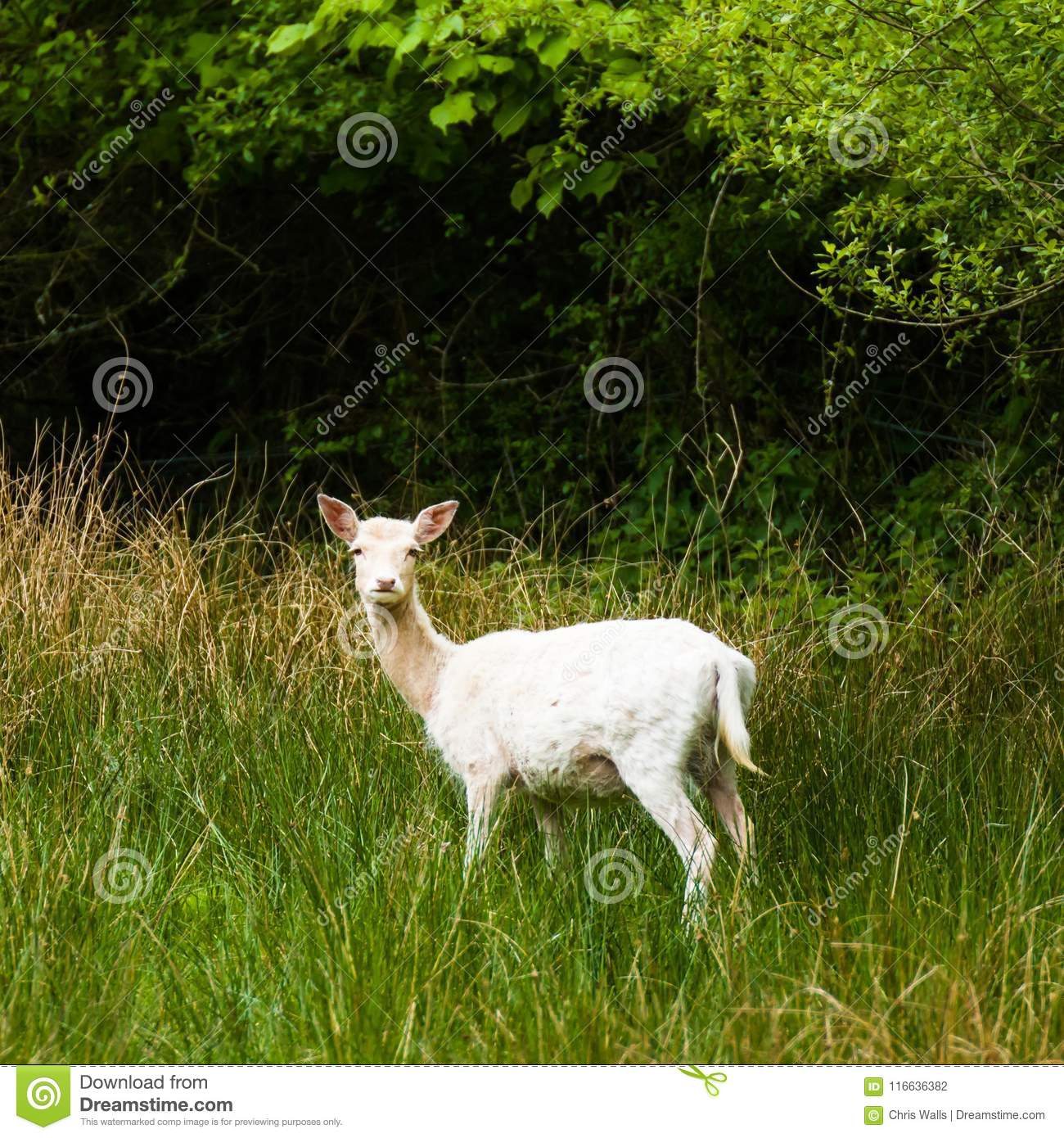 Nya Forest White Deer