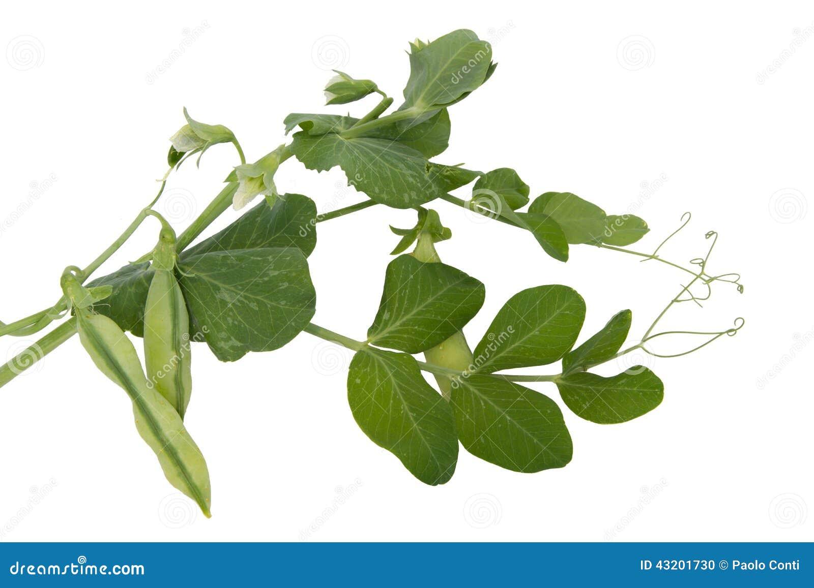 Download Nya Gröna ärtor Med Sidor Och Blommor Arkivfoto - Bild av ärtor, sunt: 43201730