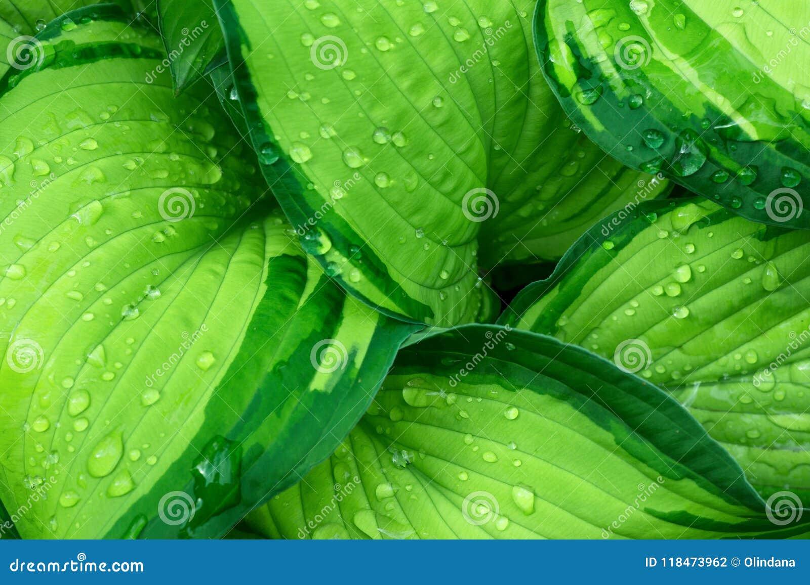 Nya gröna Hostaväxtsidor efter regn med vattendroppar Botanisk lövverknaturbakgrund Tapetaffischmall