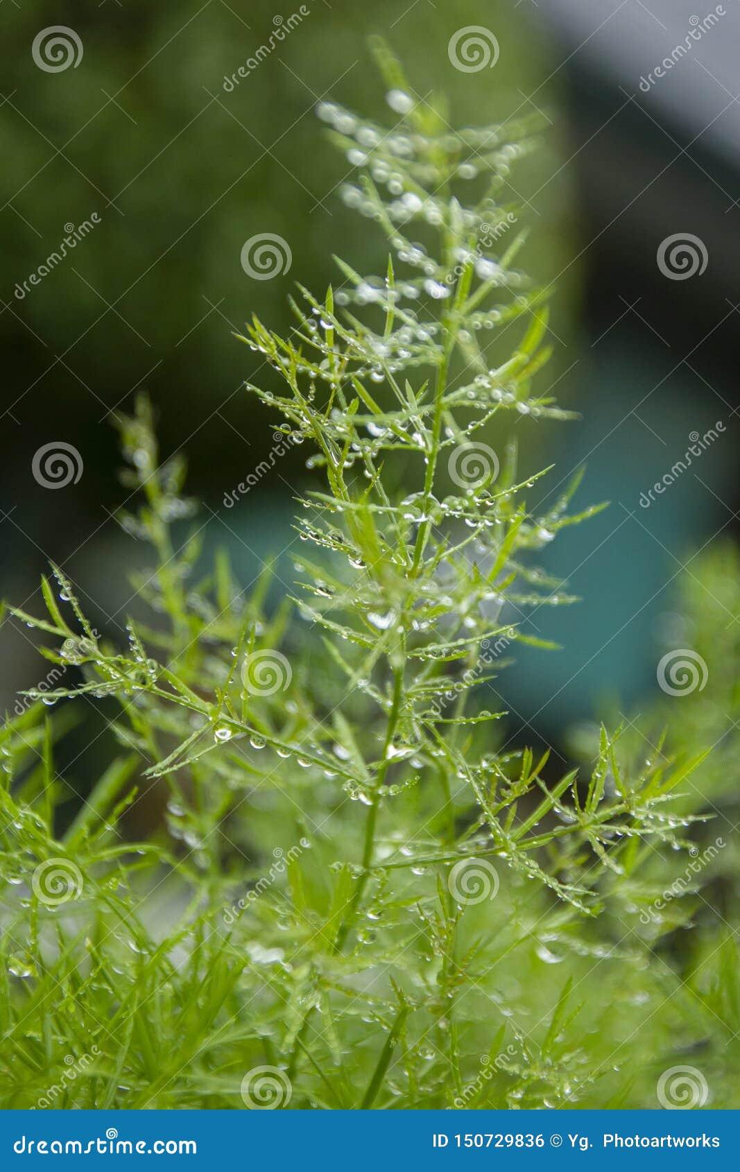 Nya gröna sidor med daggdroppar