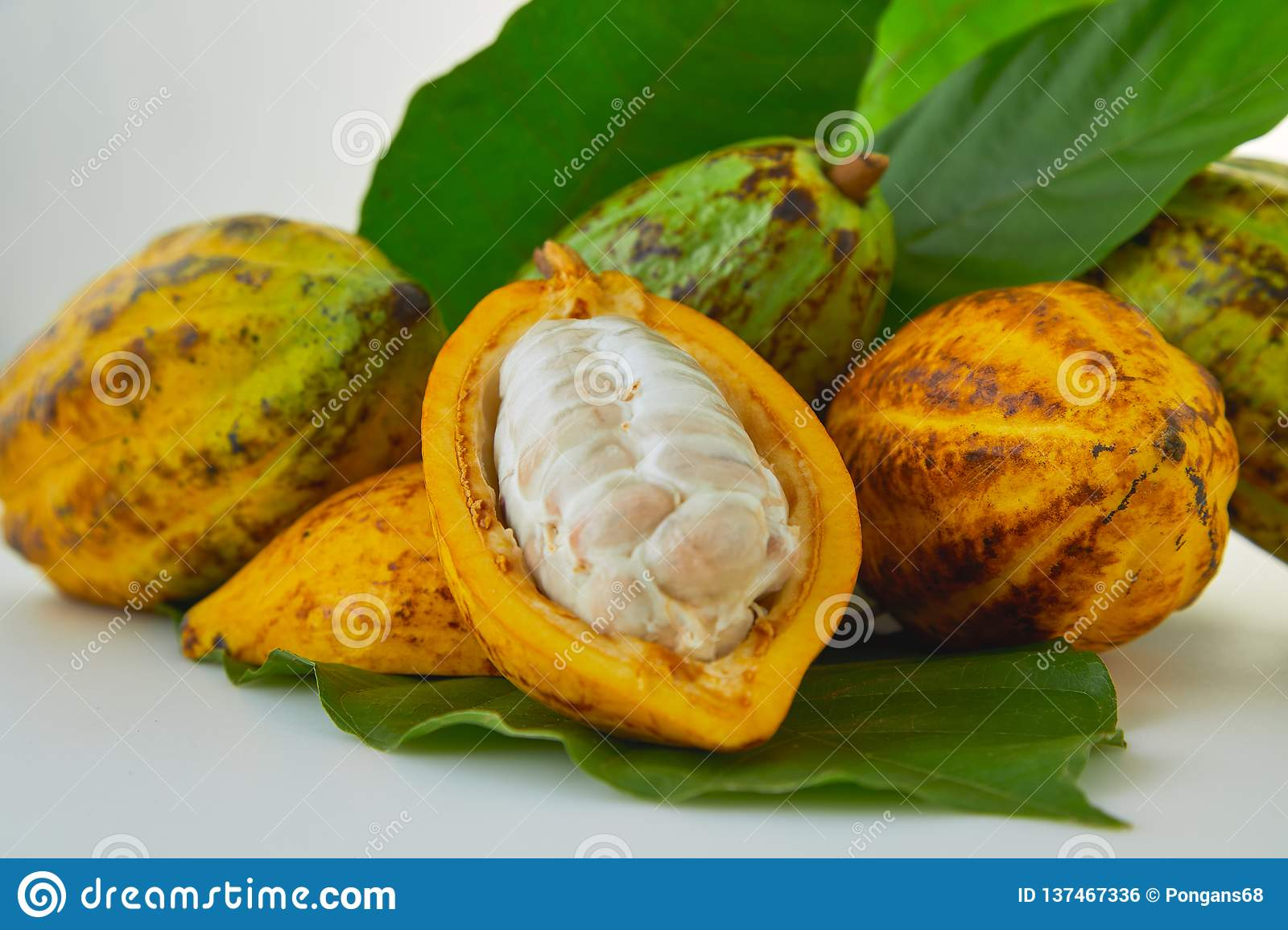 Nya kakaofrukter med det gröna bladet
