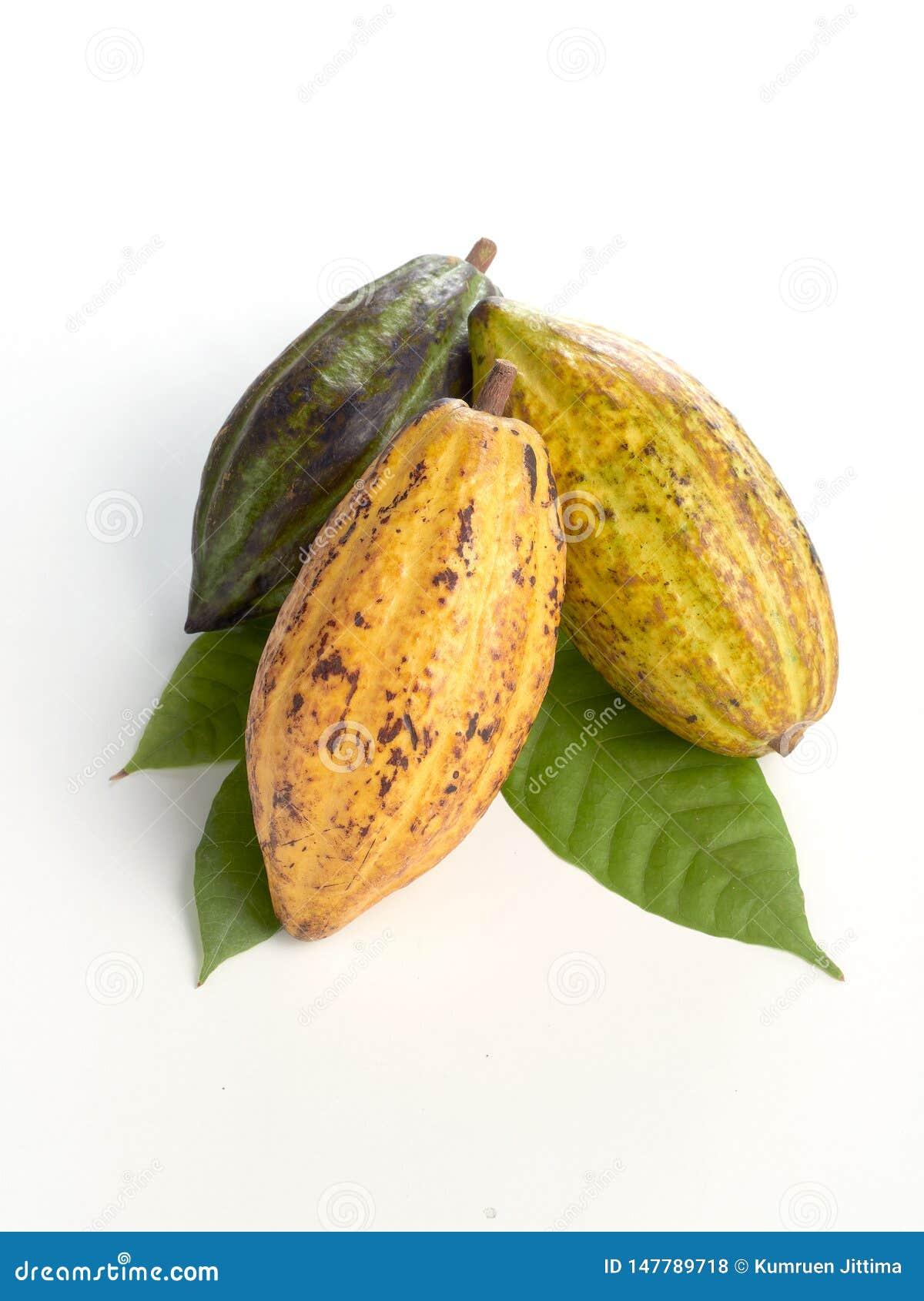 Nya kakaofrukter med det gr?na bladet