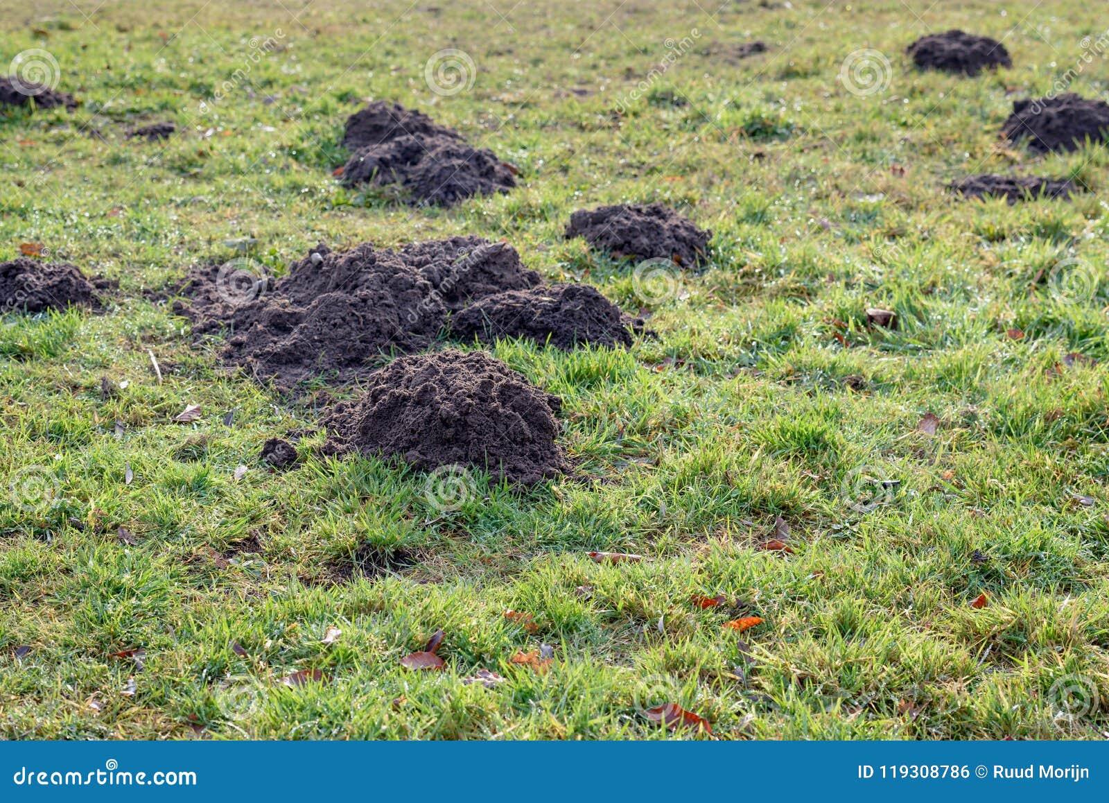 Nya mullvadshögar i daggigt gräs från slut