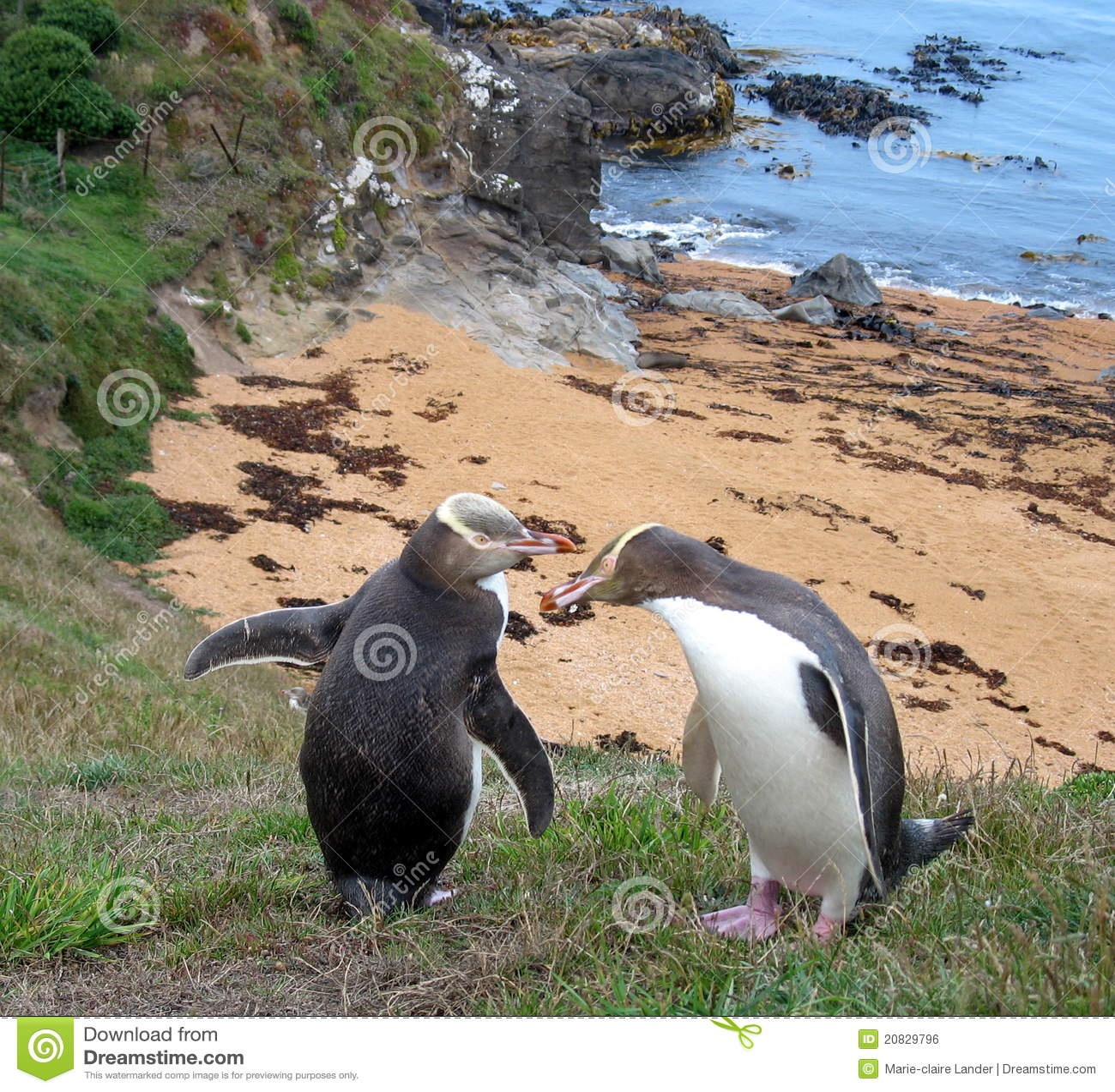 Nya pingvin zealand