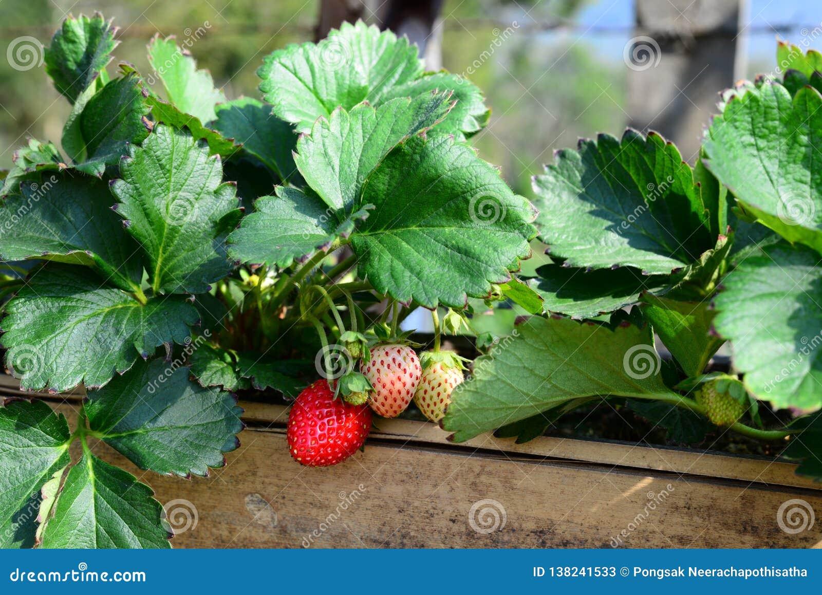 Nya söta jordgubbefrukter glöder i bamburöret