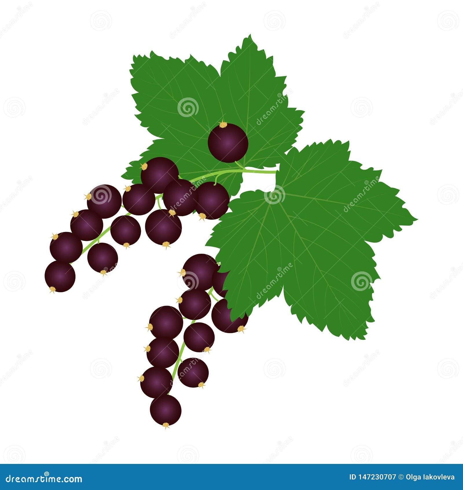 Nya svarta vinbär med sidor