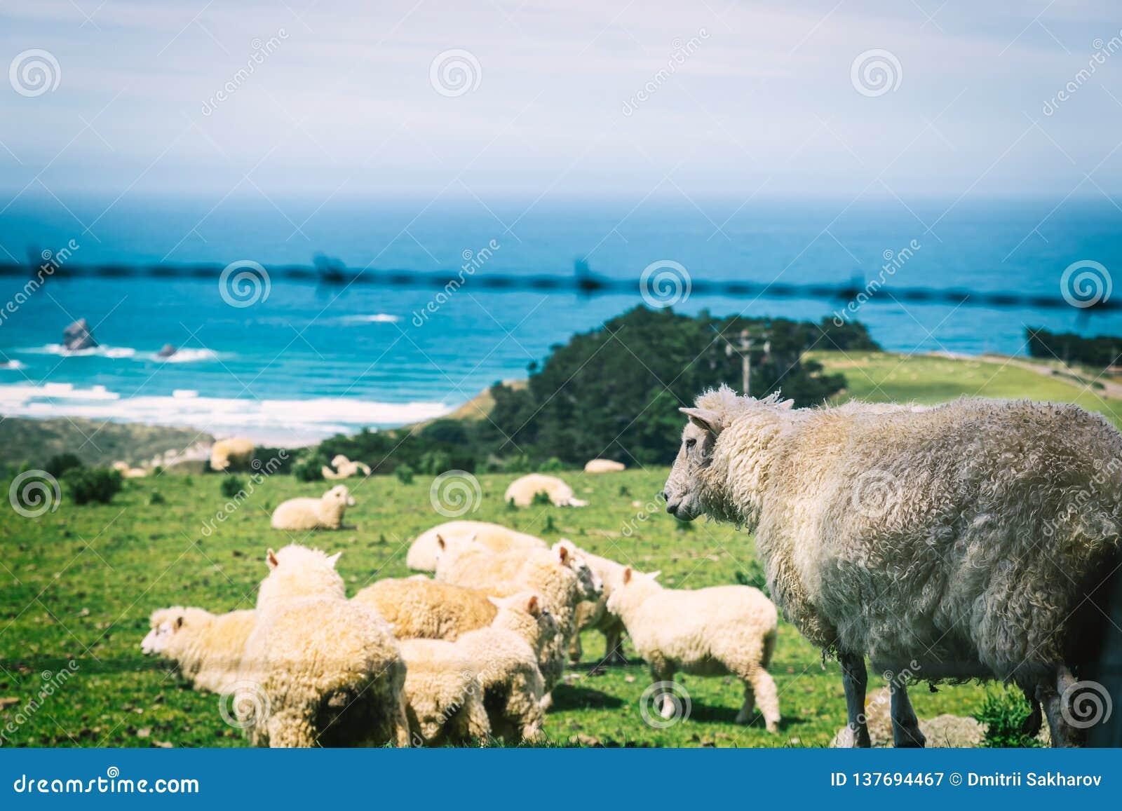 Nya Zeeland får som överst betar av kullen med havsikt