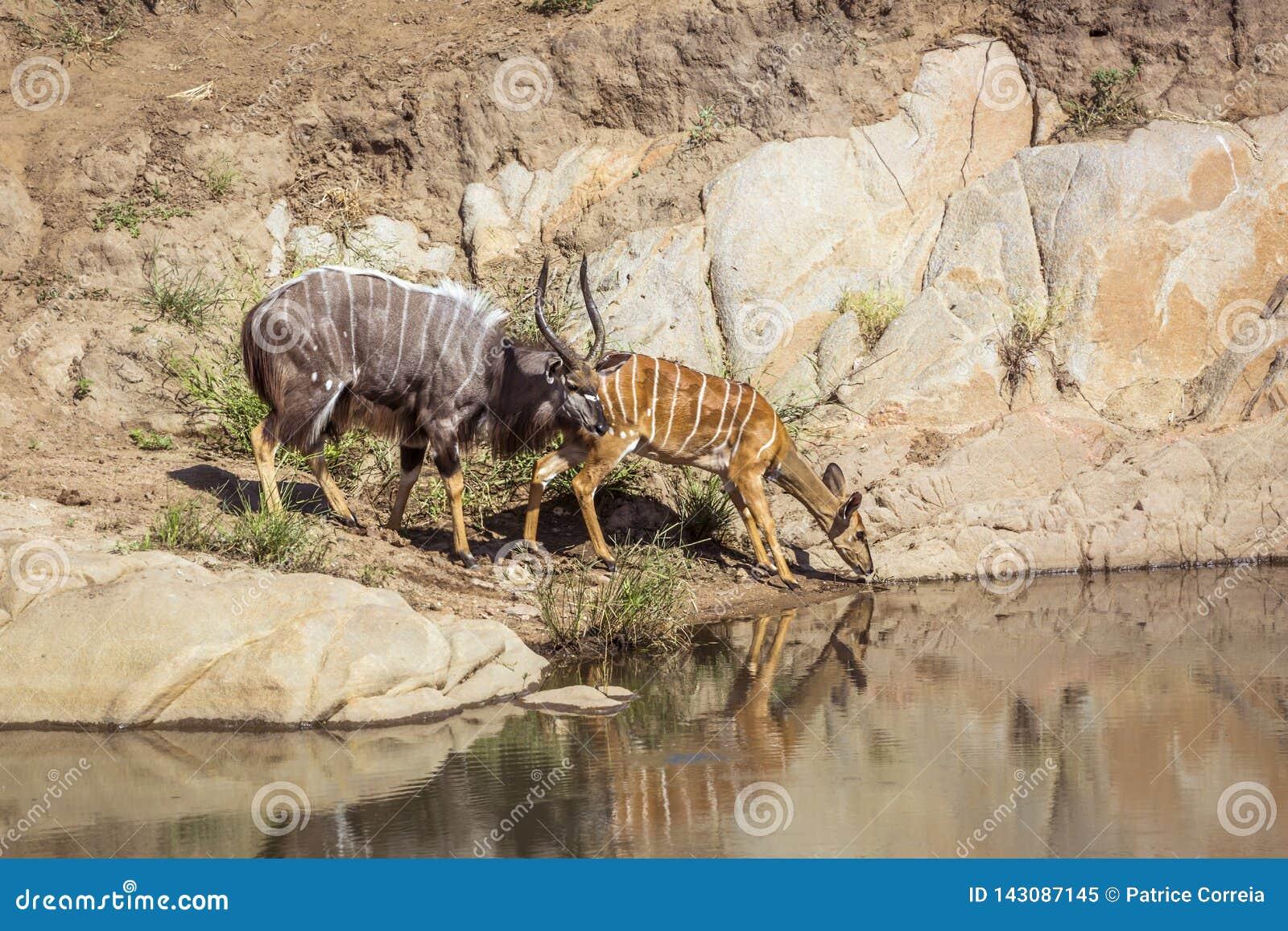 Nyala в национальном парке Kruger, Южной Африке