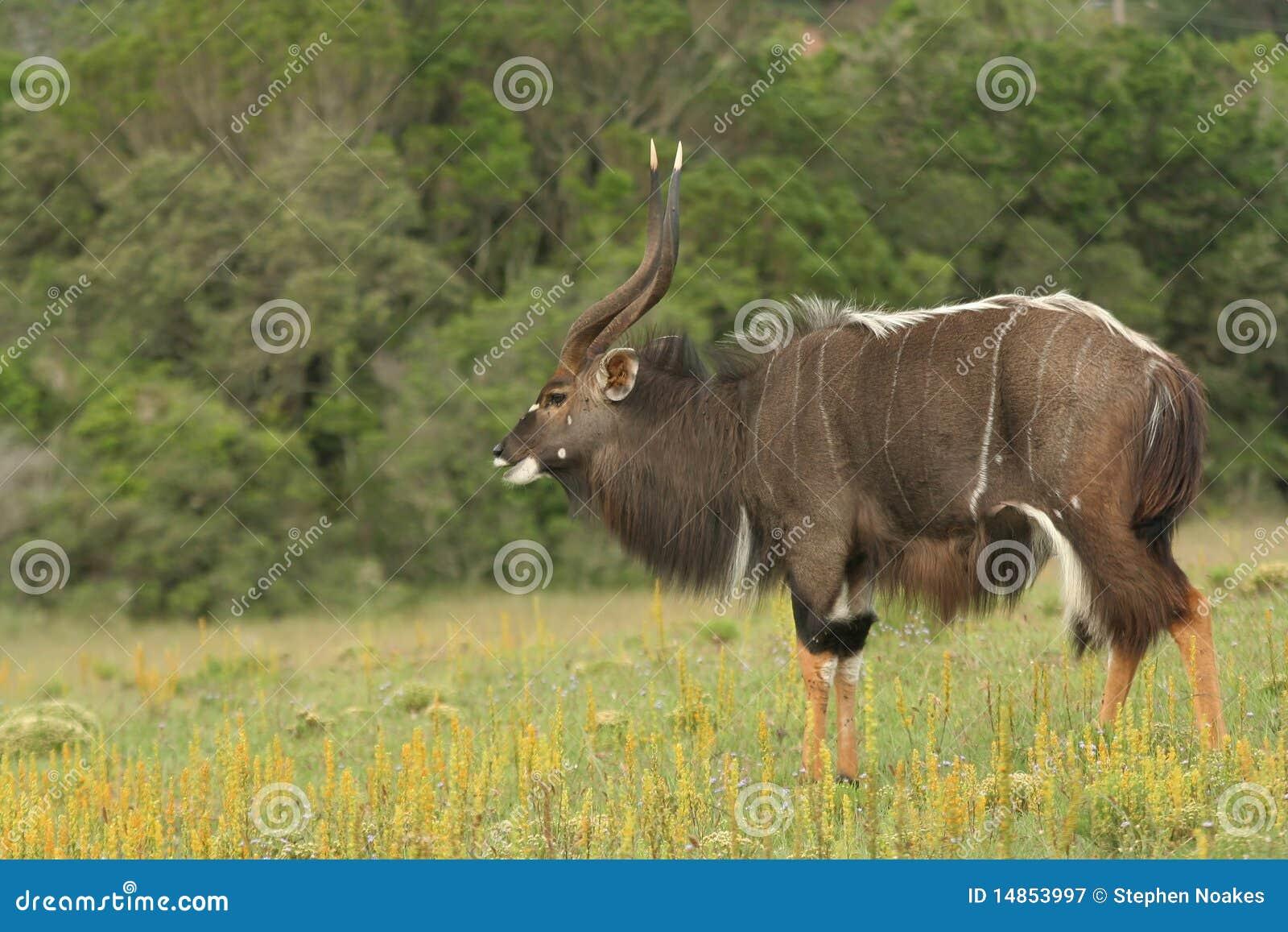 Nyala Antelope Male