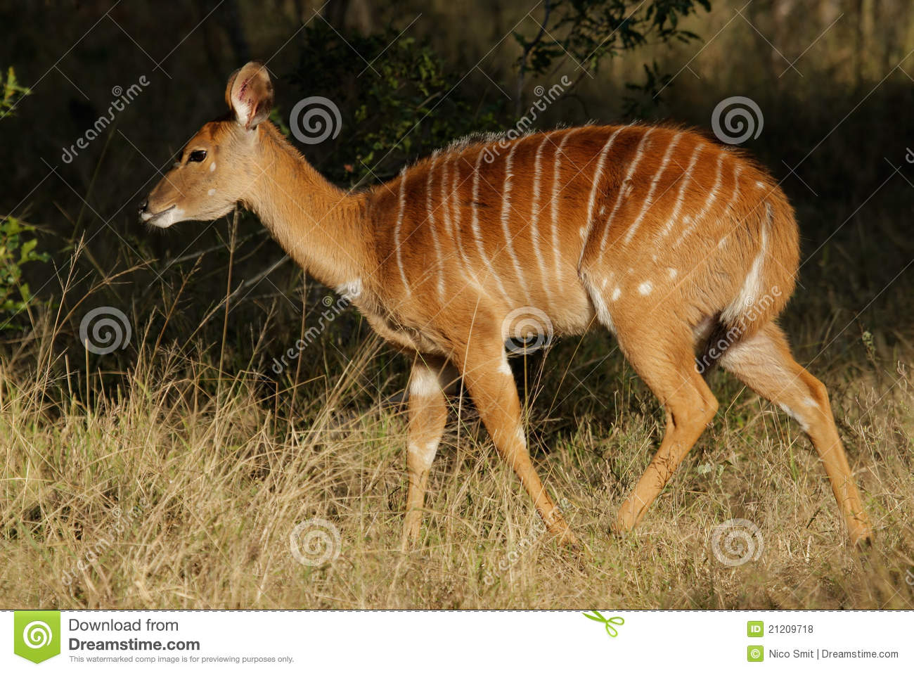 Nyala antelope  South ...