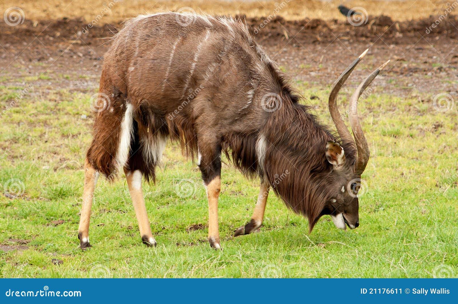 Nyala, antelope, starting to molt