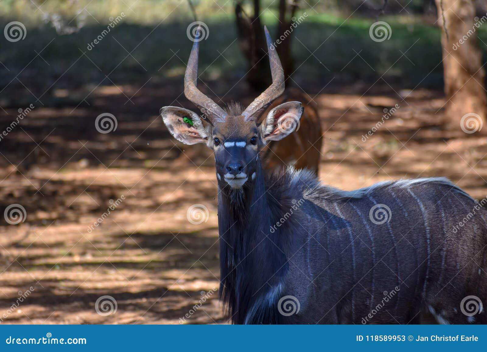 Nyala byka pozycja z niektóre ewes