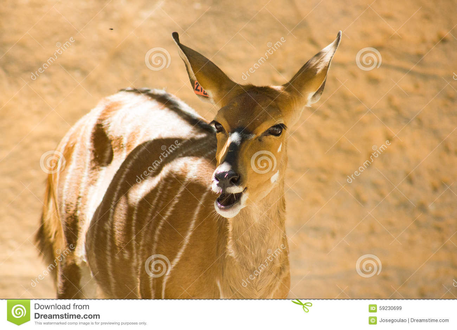 Nyala femenino (angasii del Tragelaphus), también llamado inyala Bóvidos, zoológicos