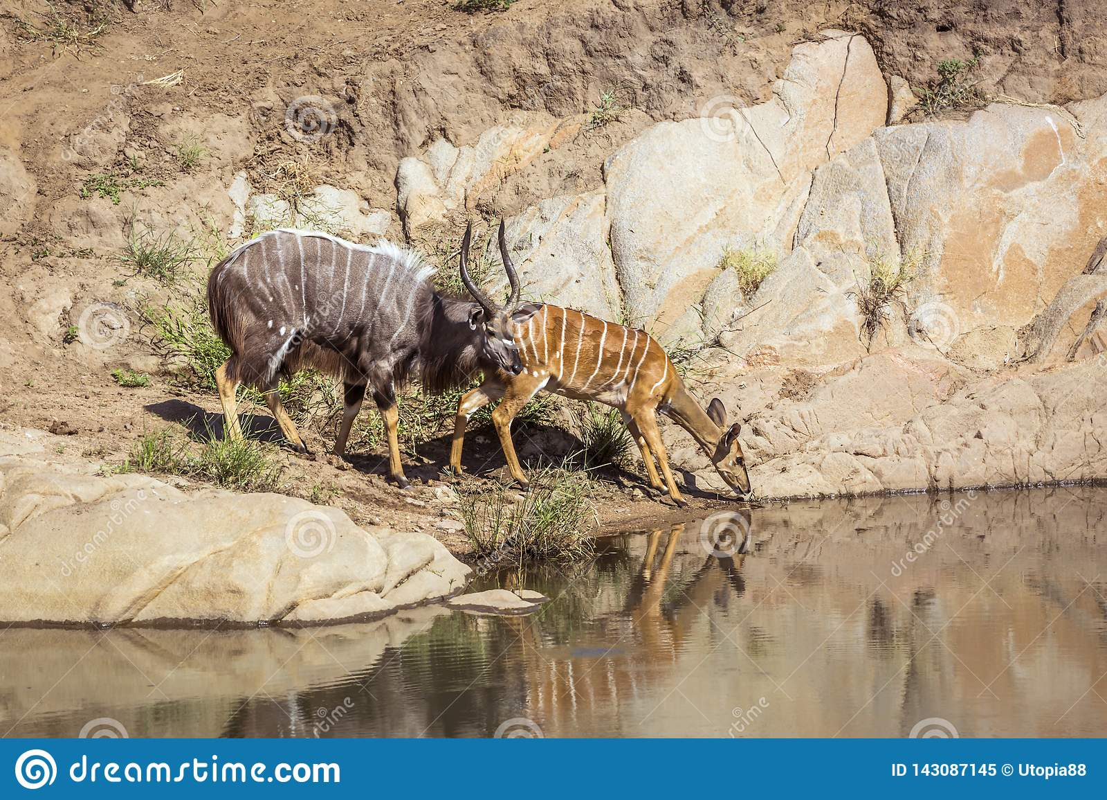 Nyala i den Kruger nationalparken, Sydafrika