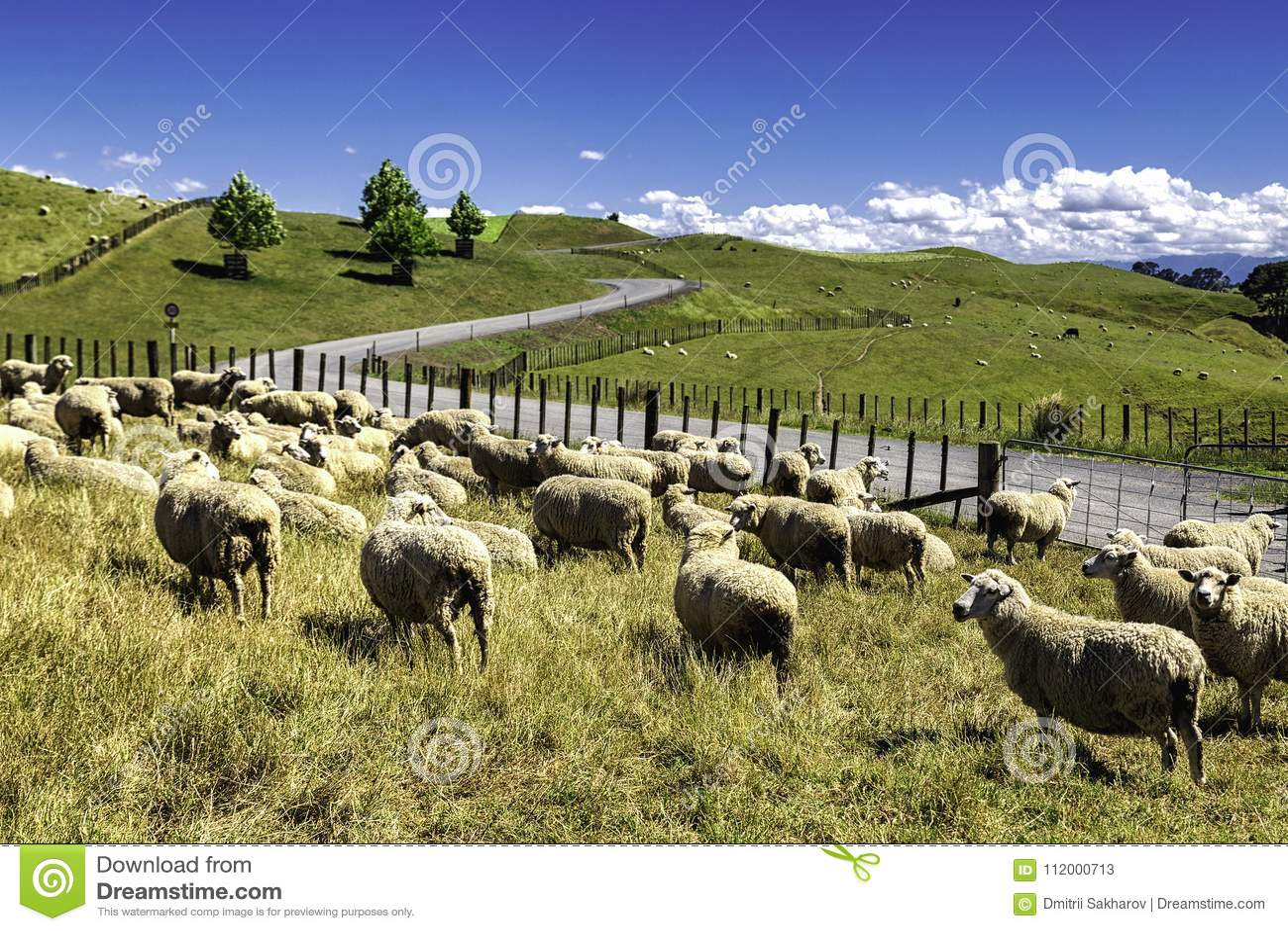 Nyazeeländska får flockas att beta i den härliga gröna kullen