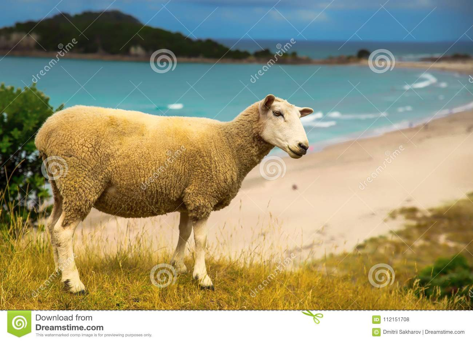 Nyazeeländska får på stranden i monteringen Maunganui