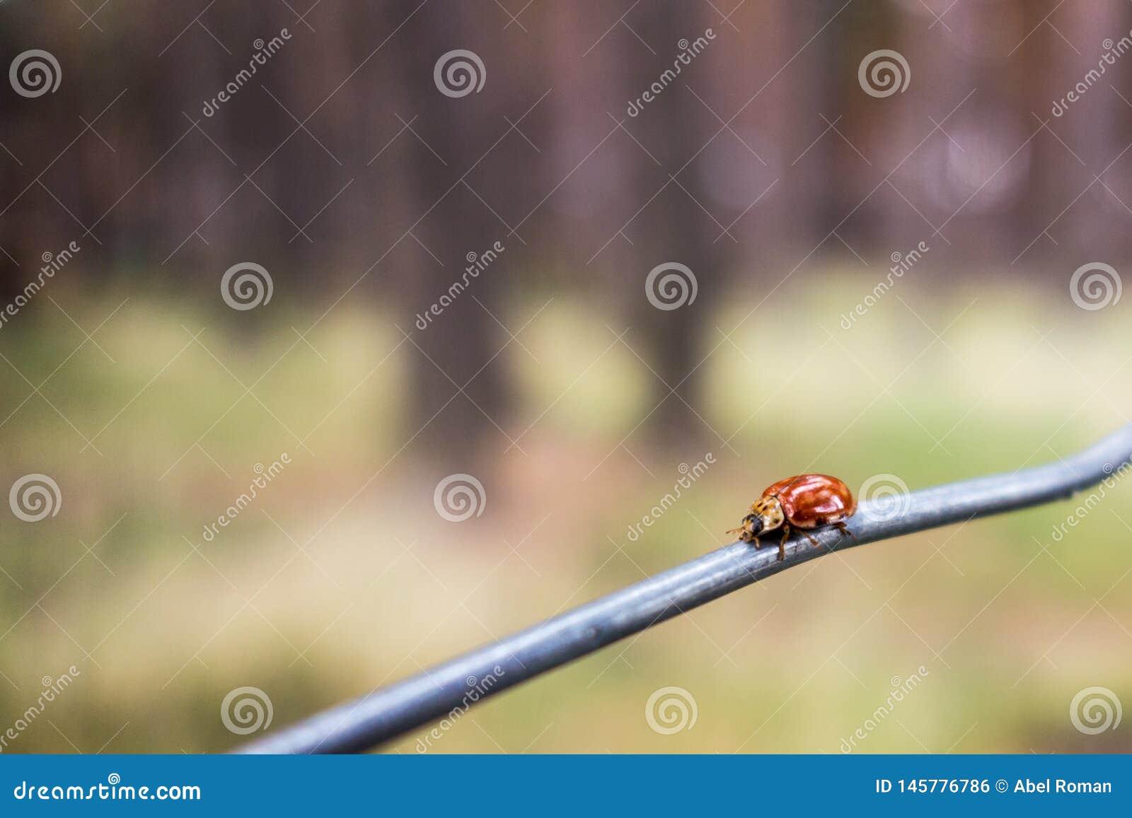Nyckelpiga över en tråd